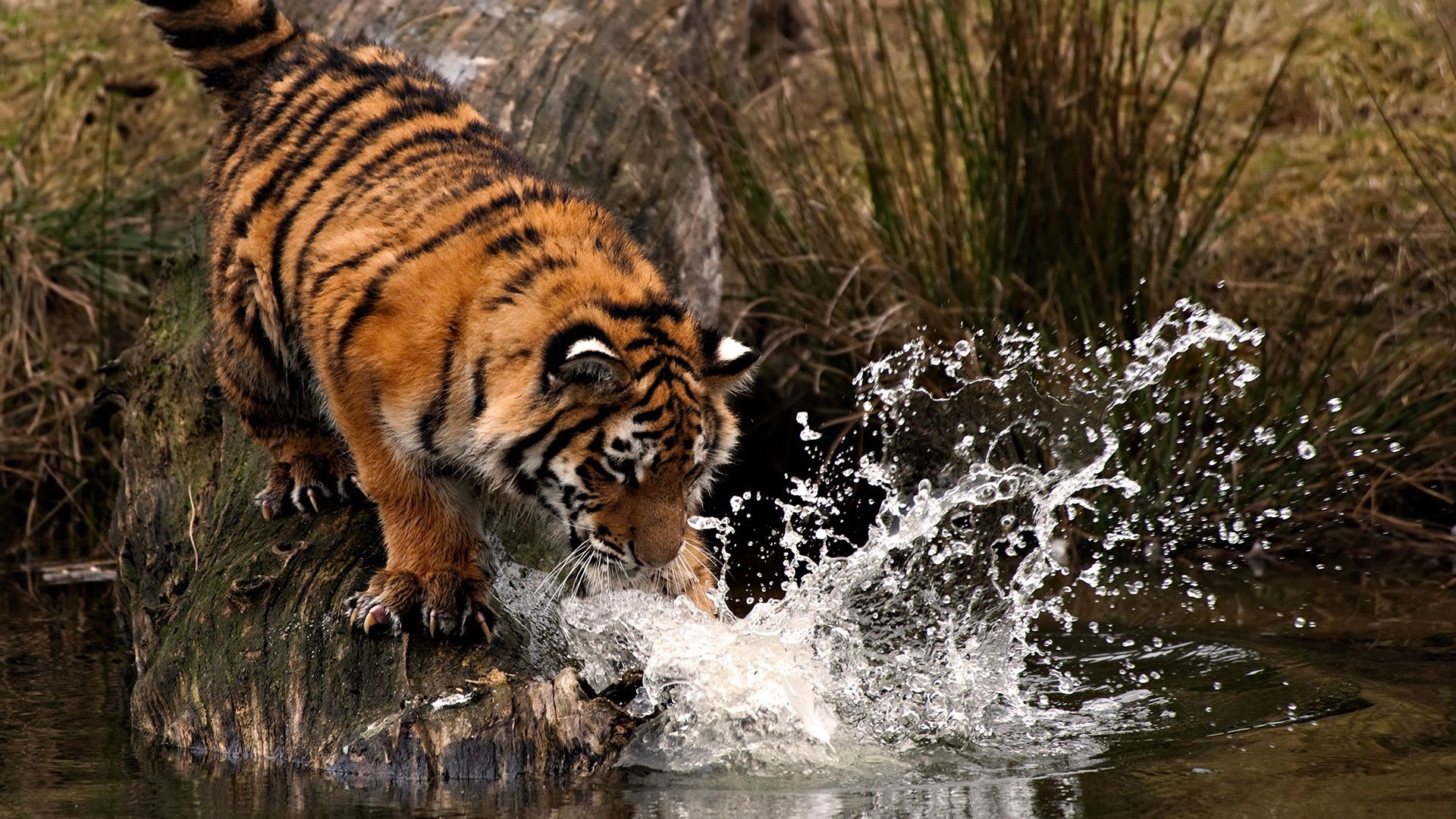 125827 download wallpaper Animals, Tiger, Hunting, Hunt, Water, Spray, Paw screensavers and pictures for free