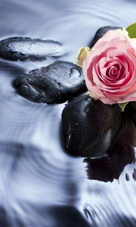 25240 скачать обои Растения, Вода, Камни, Розы - заставки и картинки бесплатно