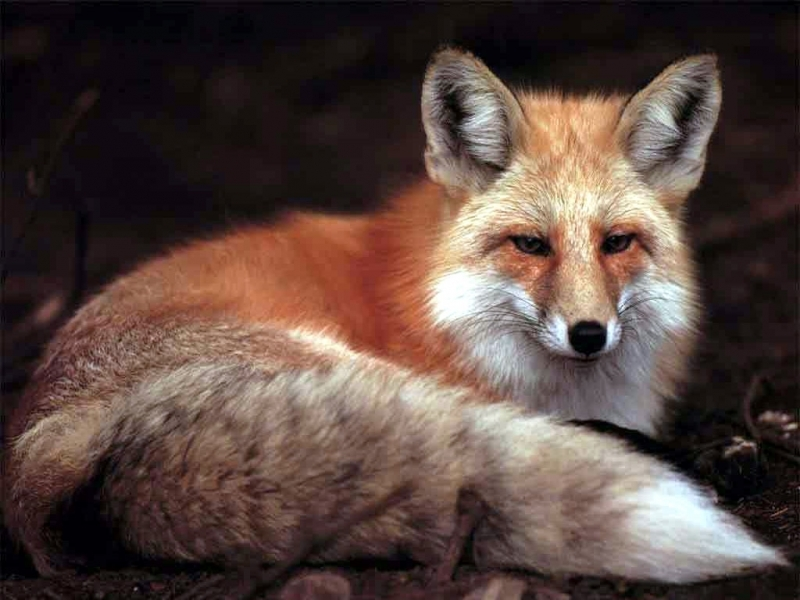 45990 download wallpaper Animals, Fox screensavers and pictures for free