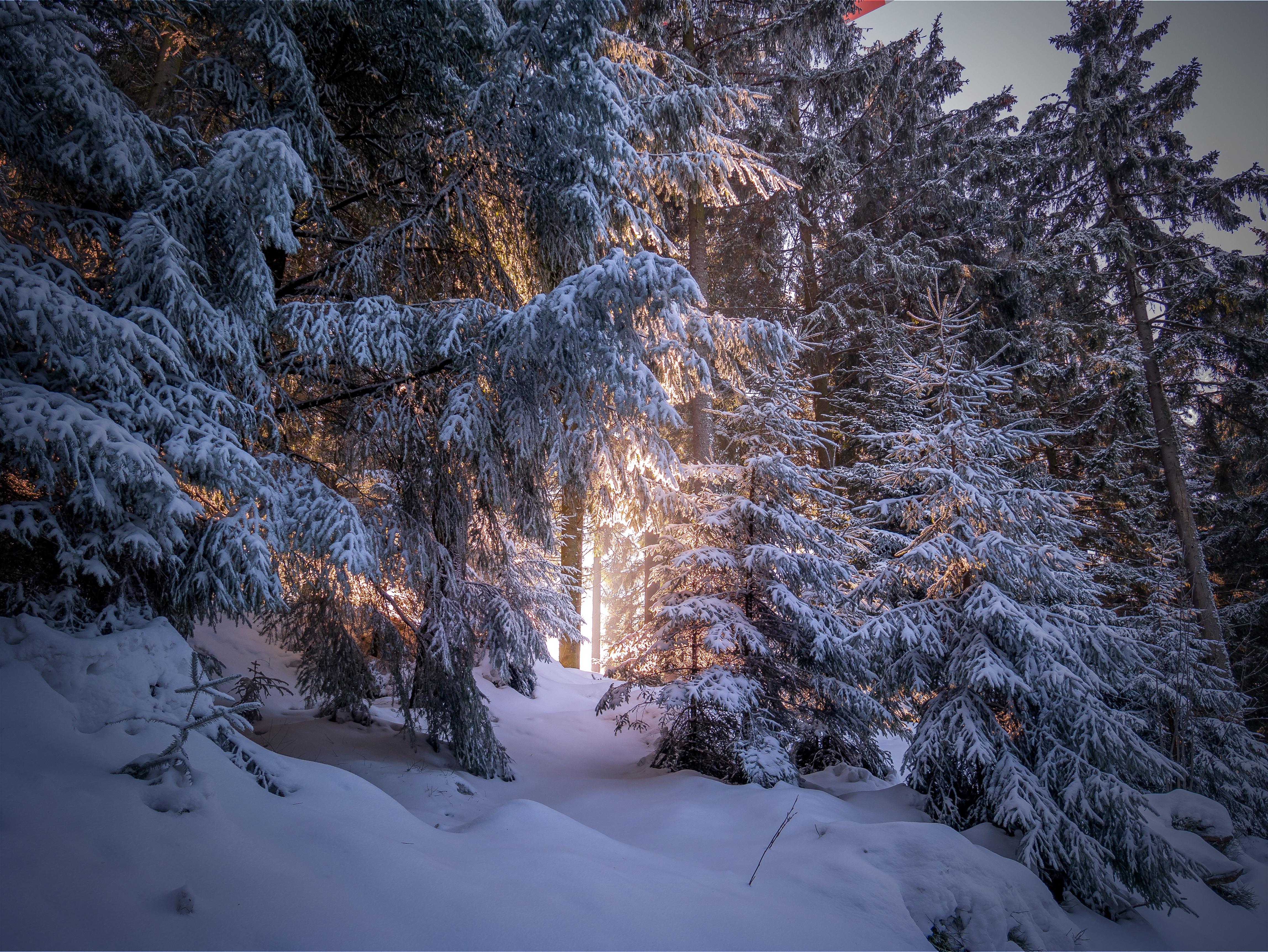 77265 скачать обои Зима, Природа, Деревья, Снег, Лес, Хвойный - заставки и картинки бесплатно