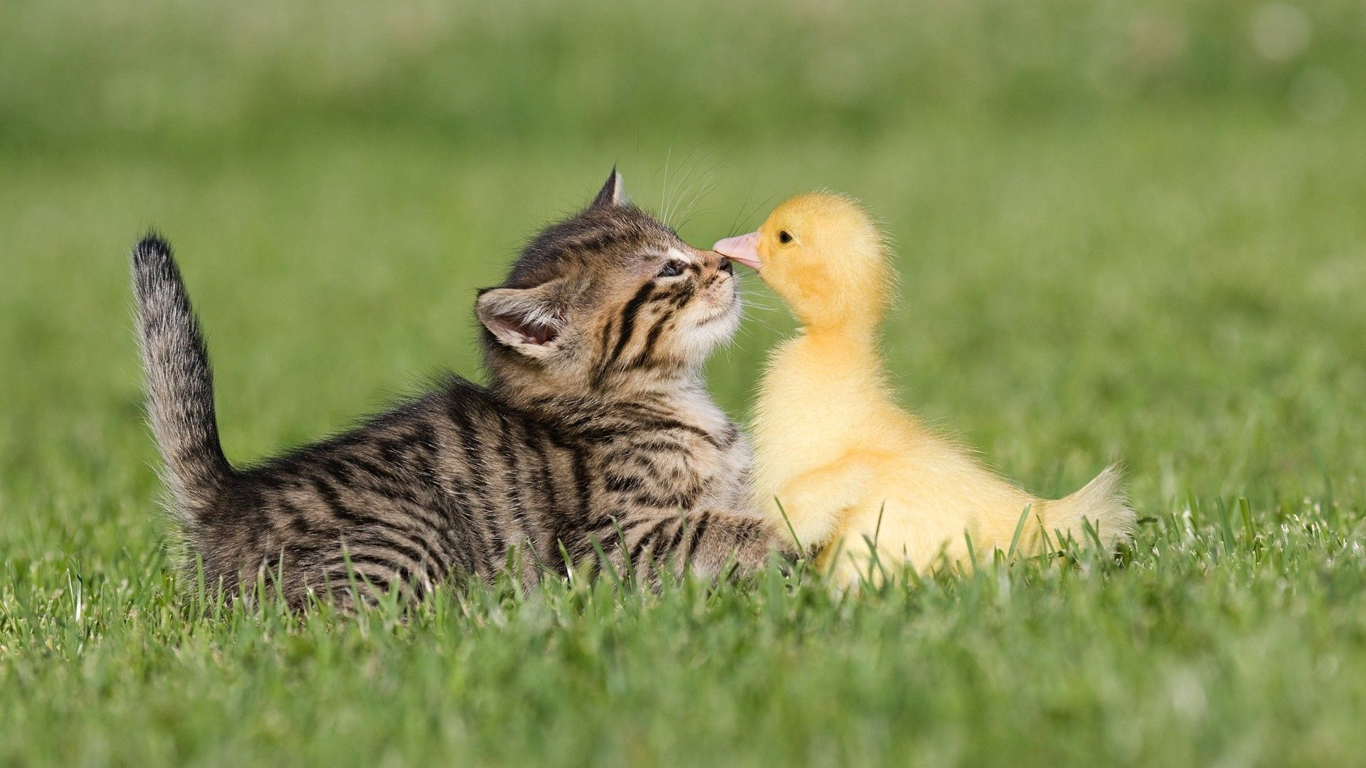 90523 Screensavers and Wallpapers Kitten for phone. Download Animals, Grass, Friendship, Kitty, Kitten, Duckling pictures for free