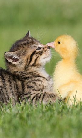 90523 download wallpaper Animals, Friendship, Grass, Kitty, Kitten, Duckling screensavers and pictures for free