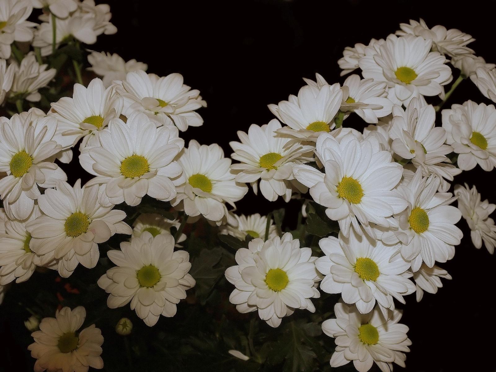 7299 скачать обои Растения, Цветы, Хризантемы - заставки и картинки бесплатно
