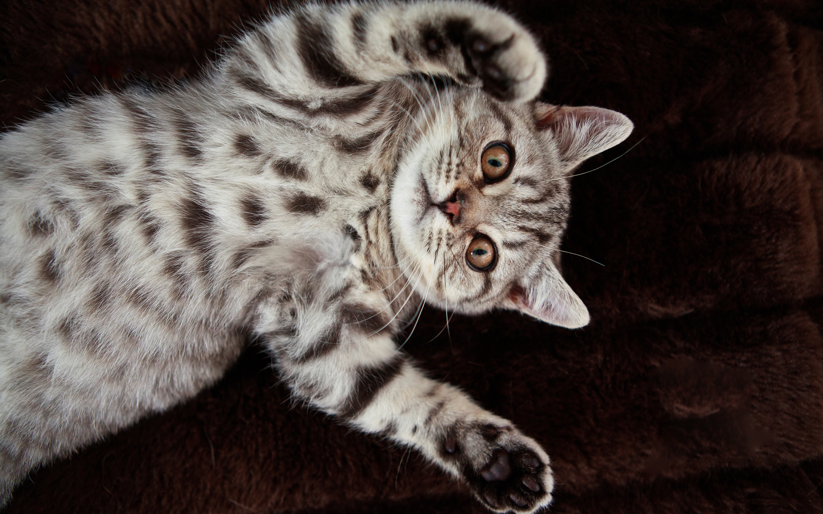 106500 download wallpaper Animals, Cat, Spotted, Spotty, To Lie Down, Lie, Playful screensavers and pictures for free
