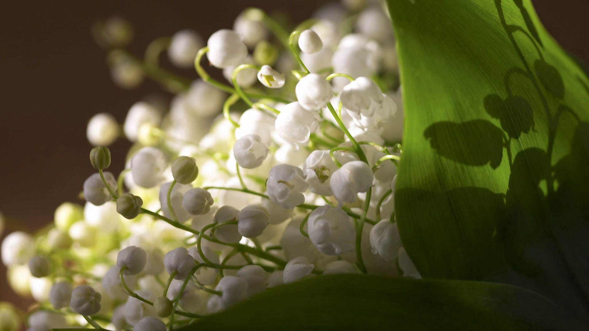 133092 Hintergrundbild herunterladen Maiglöckchen, Pflanze, Makro, Blütenblätter - Bildschirmschoner und Bilder kostenlos