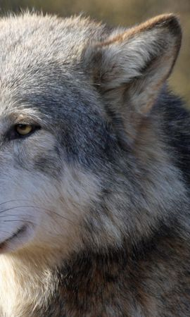 55723 download wallpaper Animals, Wolf, Muzzle, Predator, Sight, Opinion screensavers and pictures for free
