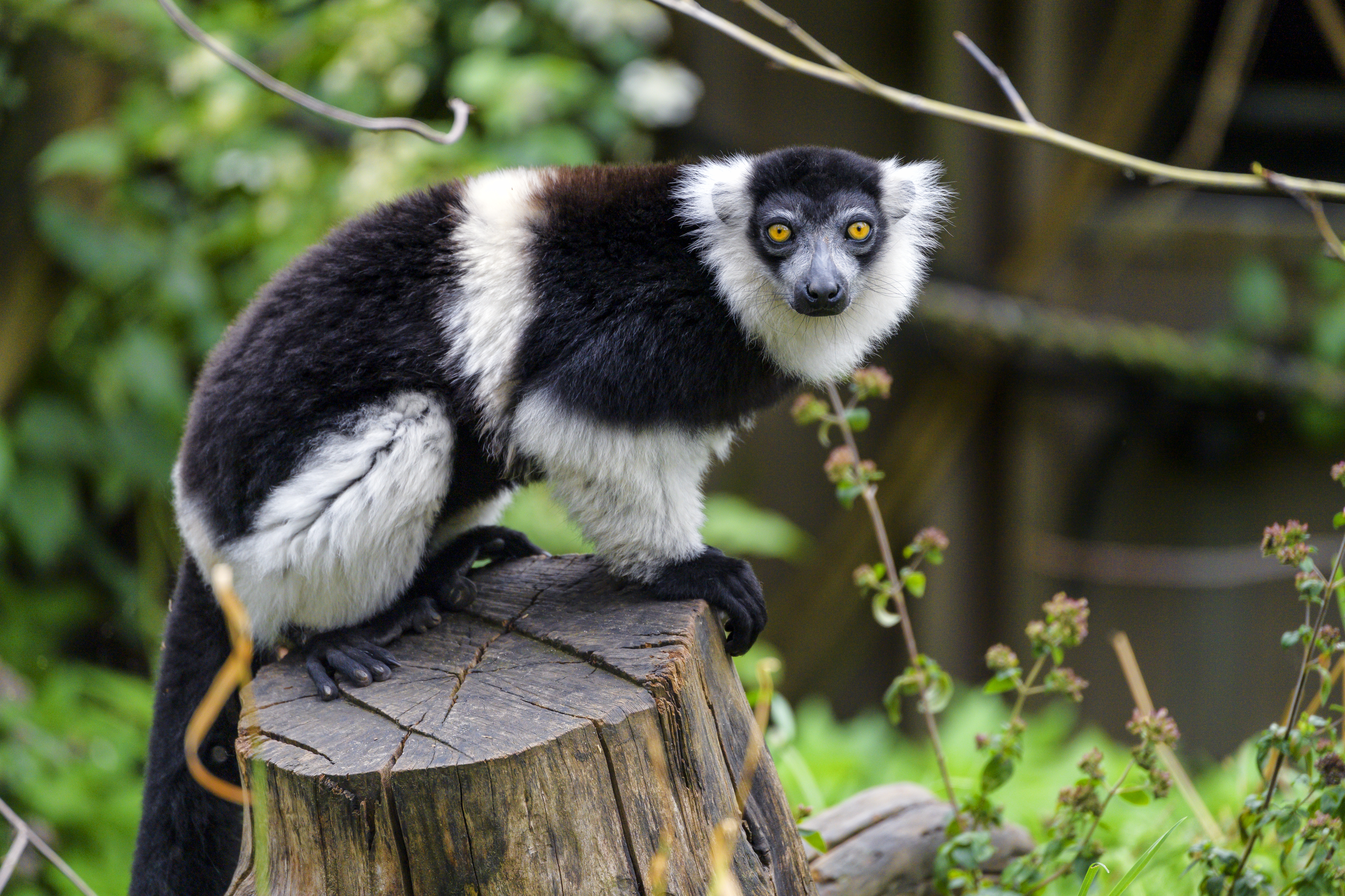 81301 download wallpaper Animals, Lemur, Animal, Muzzle, Sight, Opinion screensavers and pictures for free