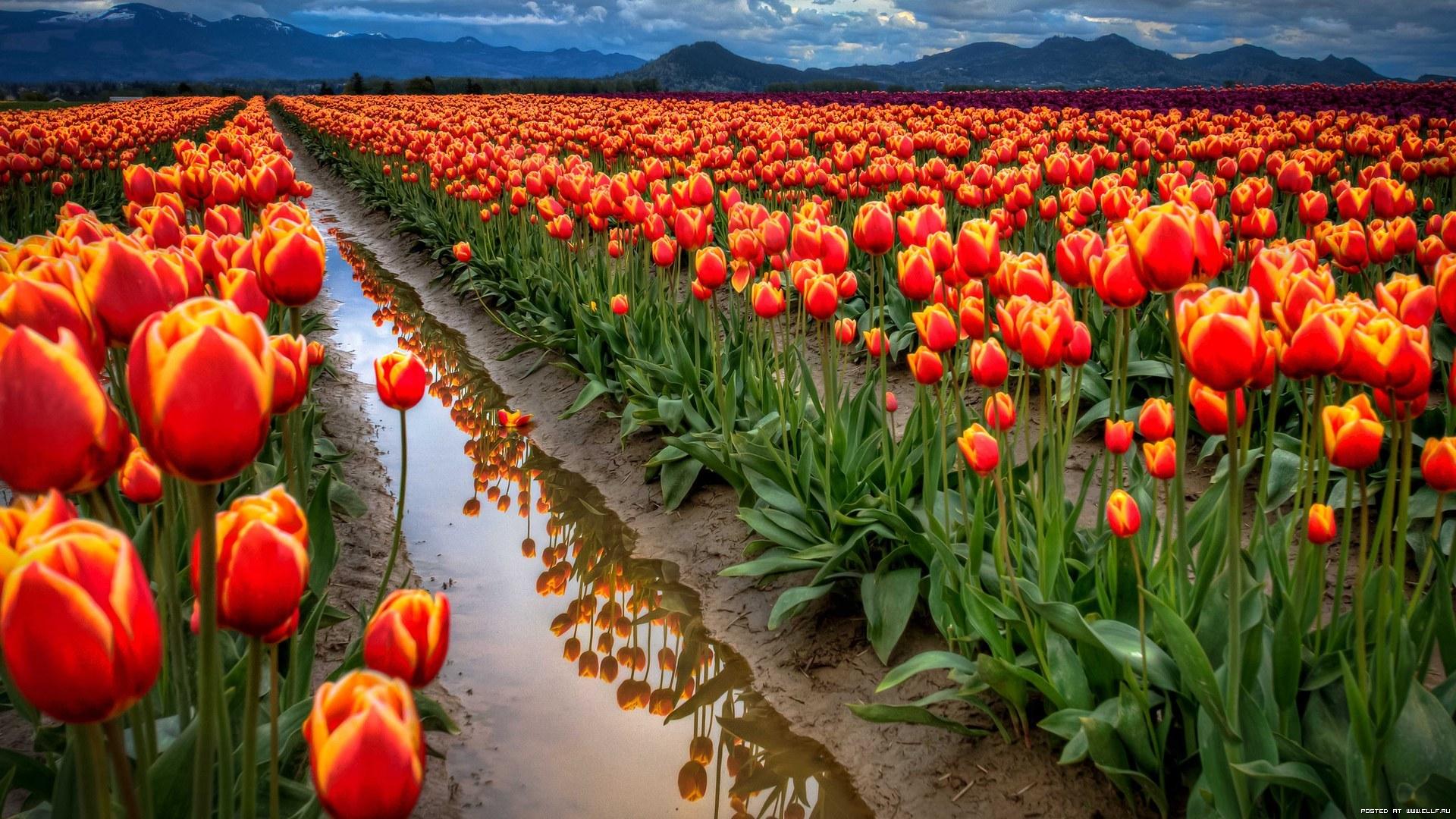 49051 скачать обои Растения, Цветы, Поля, Тюльпаны - заставки и картинки бесплатно