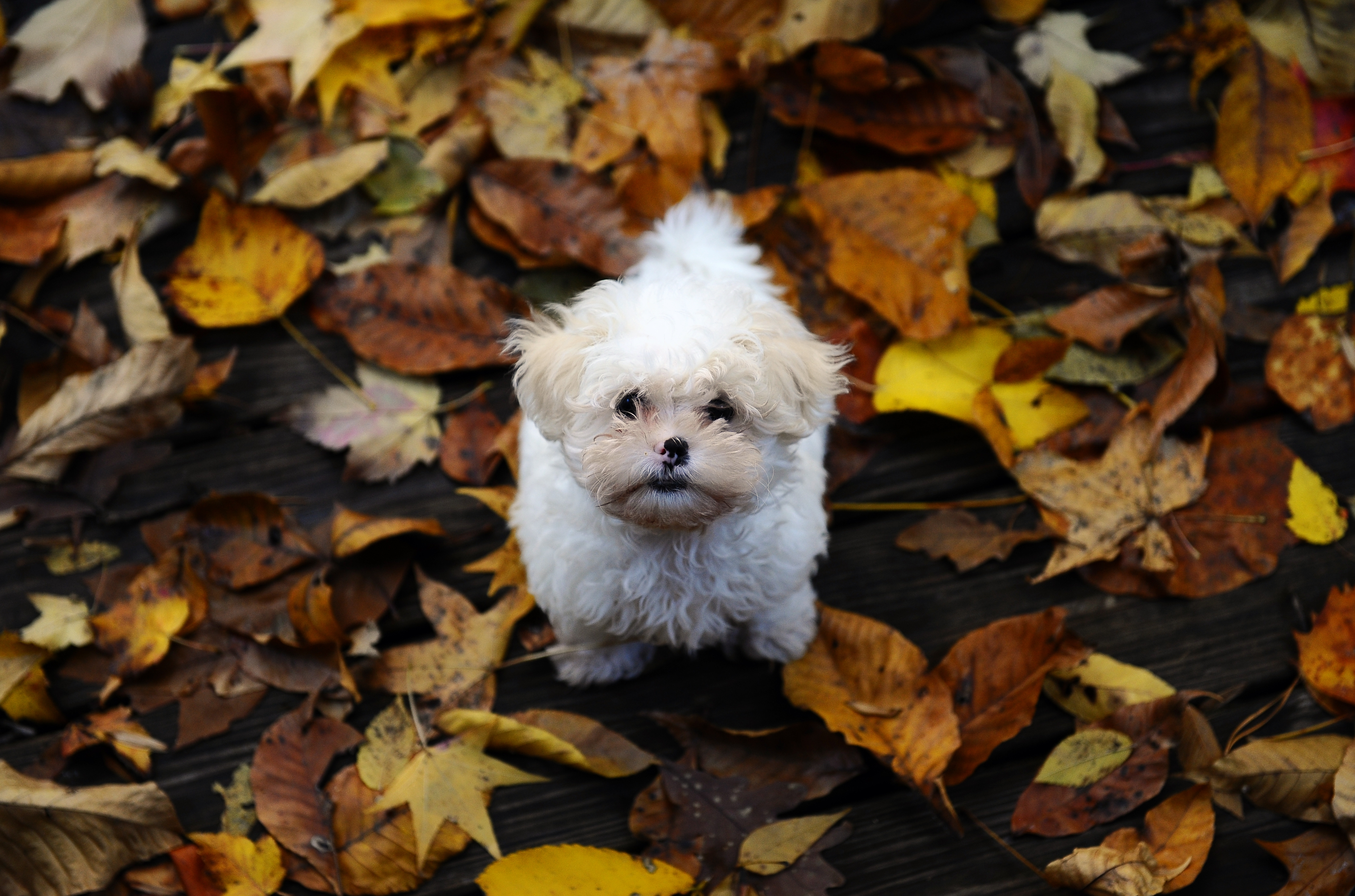 52622 download wallpaper Animals, Puppy, Fluffy, Mud, Dirt, Leaves, Autumn screensavers and pictures for free