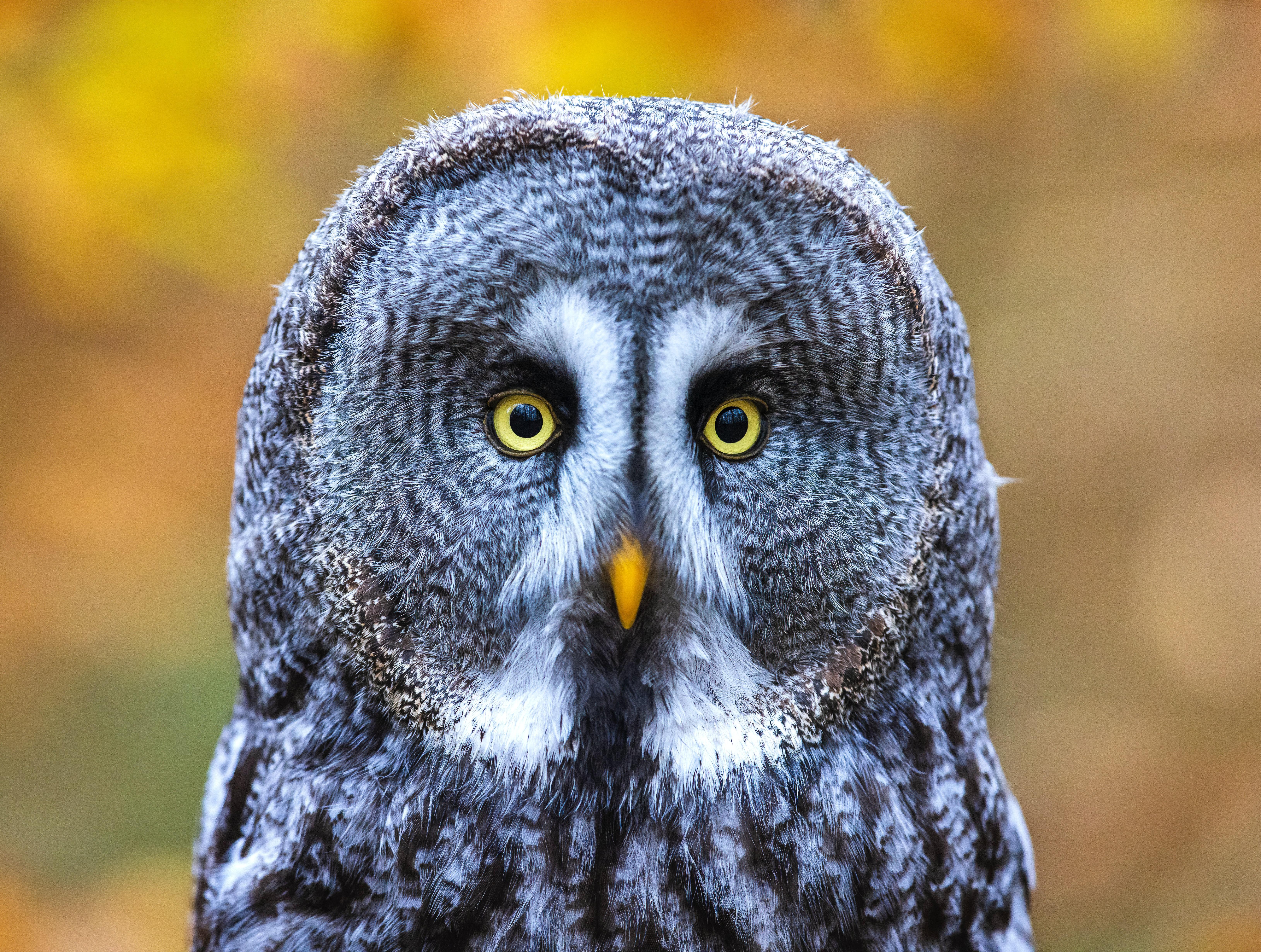 55846 скачать обои Взгляд, Животные, Птица, Глаза, Сова, Серый - заставки и картинки бесплатно