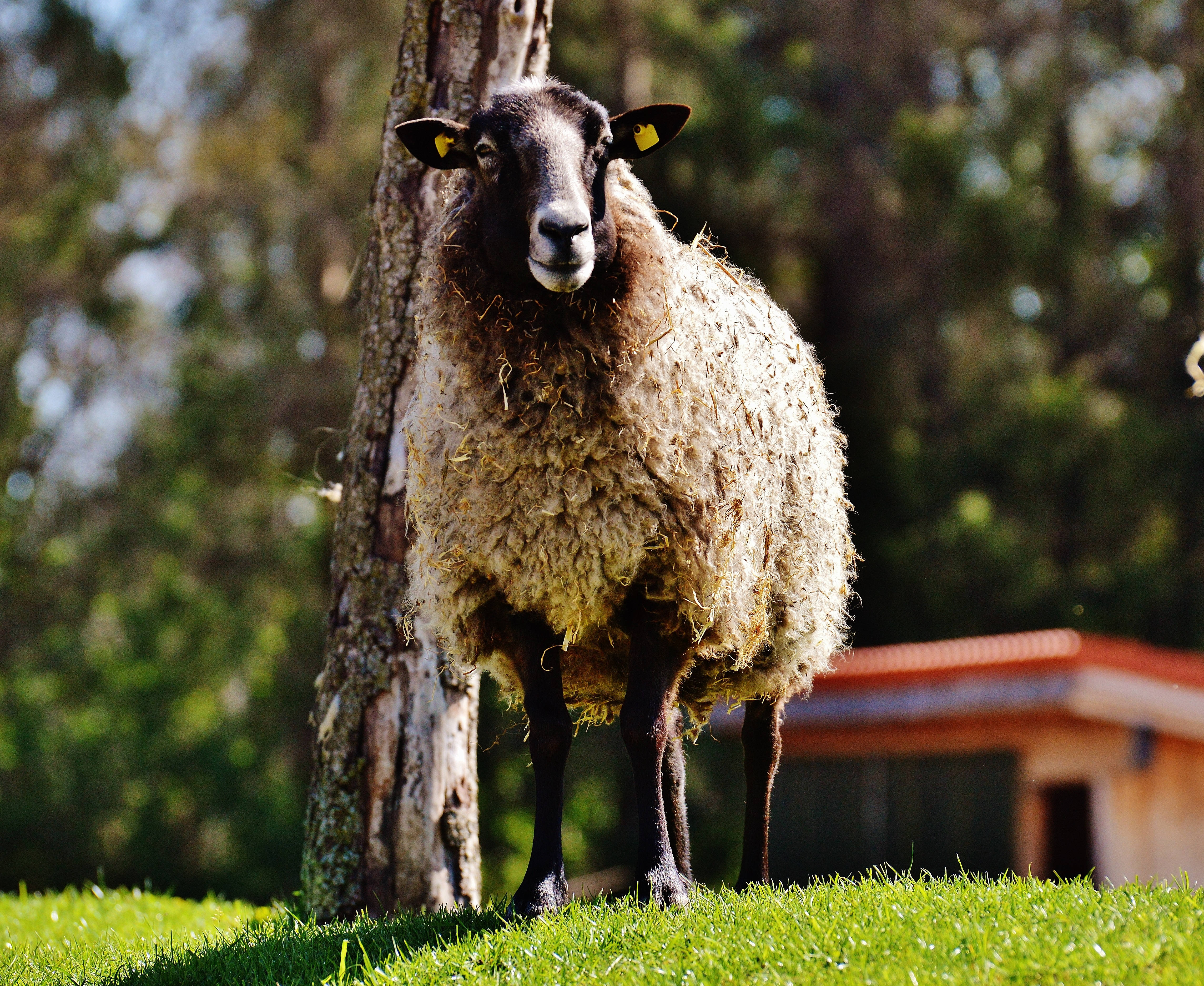 105680 Screensavers and Wallpapers Sheep for phone. Download Animals, Grass, Sheep, Curls pictures for free