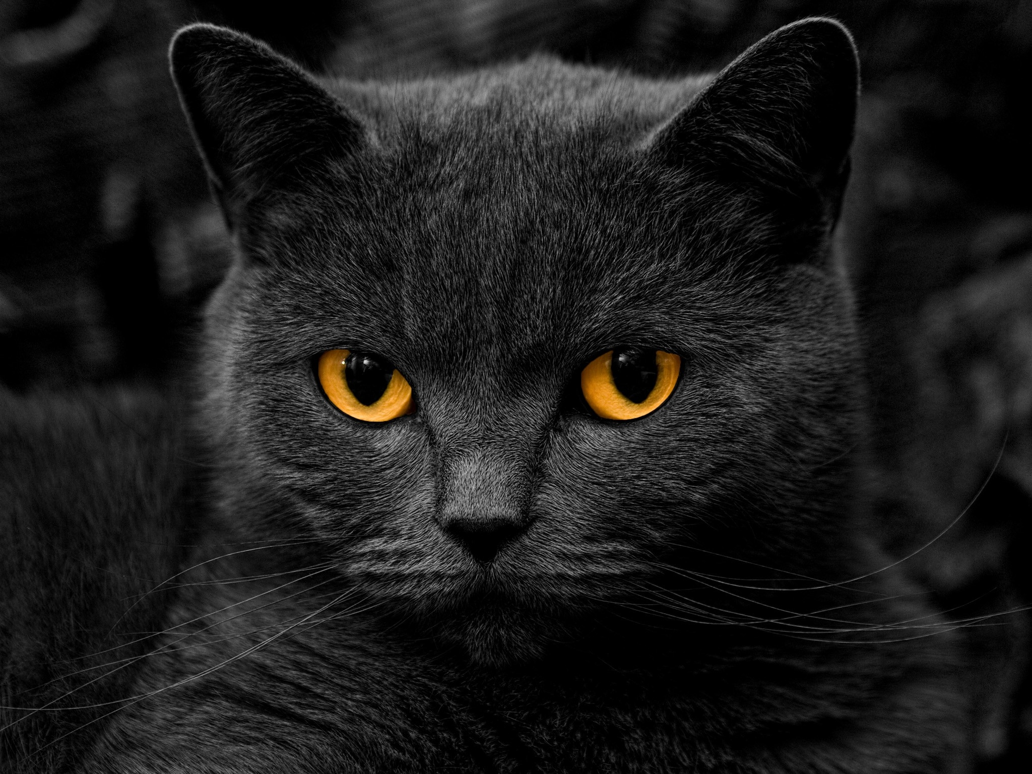 144240 download wallpaper Animals, Cat, Briton, Eyes, Sight, Opinion screensavers and pictures for free