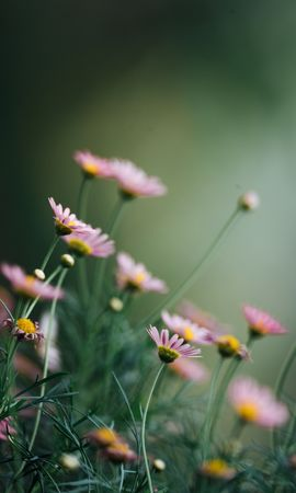 148961 baixar papel de parede Flores, Margaridas, Cor De Rosa, Rosa, Macro, Florescer, Floração - protetores de tela e imagens gratuitamente