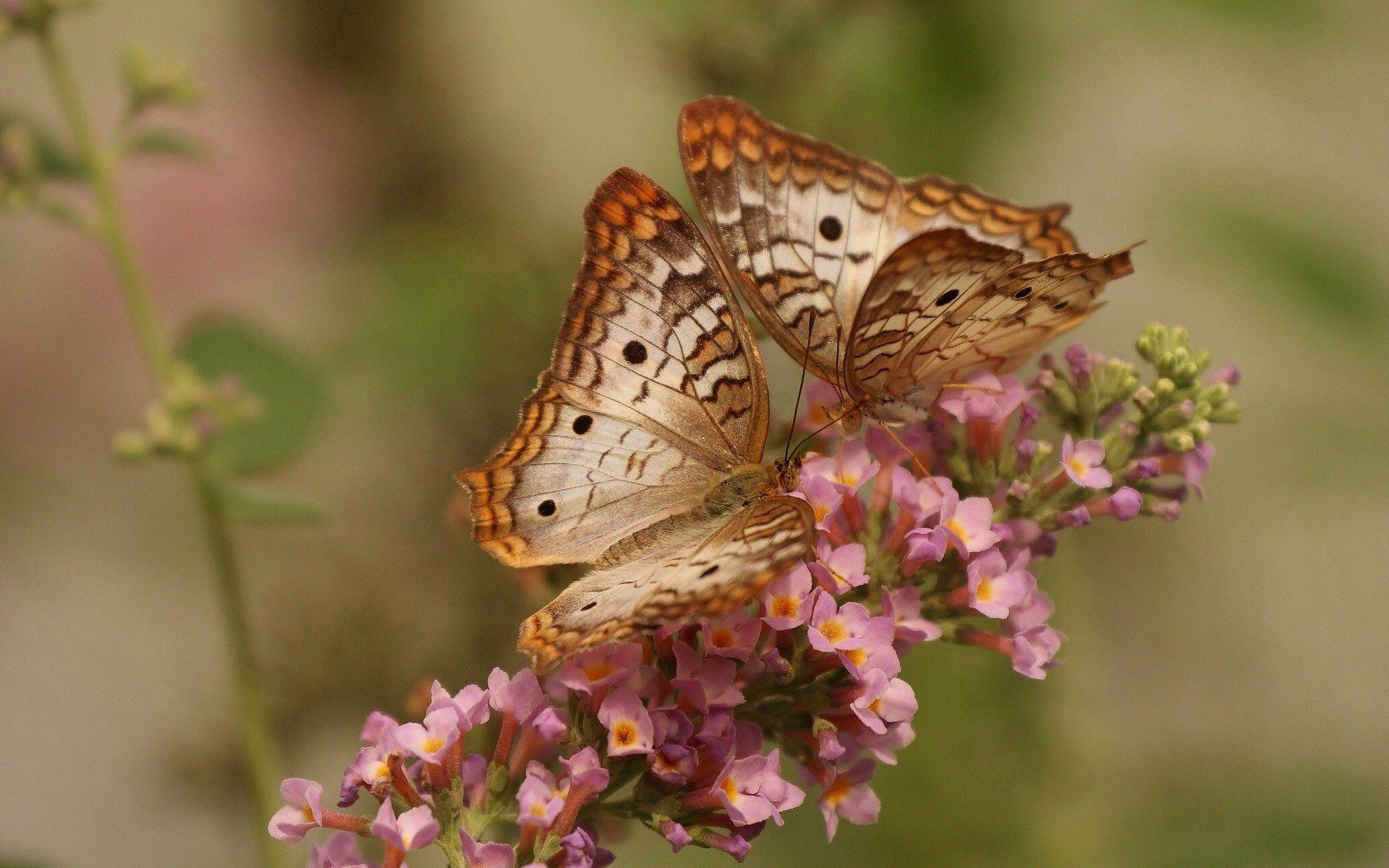 137134 Hintergrundbild herunterladen Blumen, Schmetterlinge, Patterns, Makro, Paar, Flügel - Bildschirmschoner und Bilder kostenlos