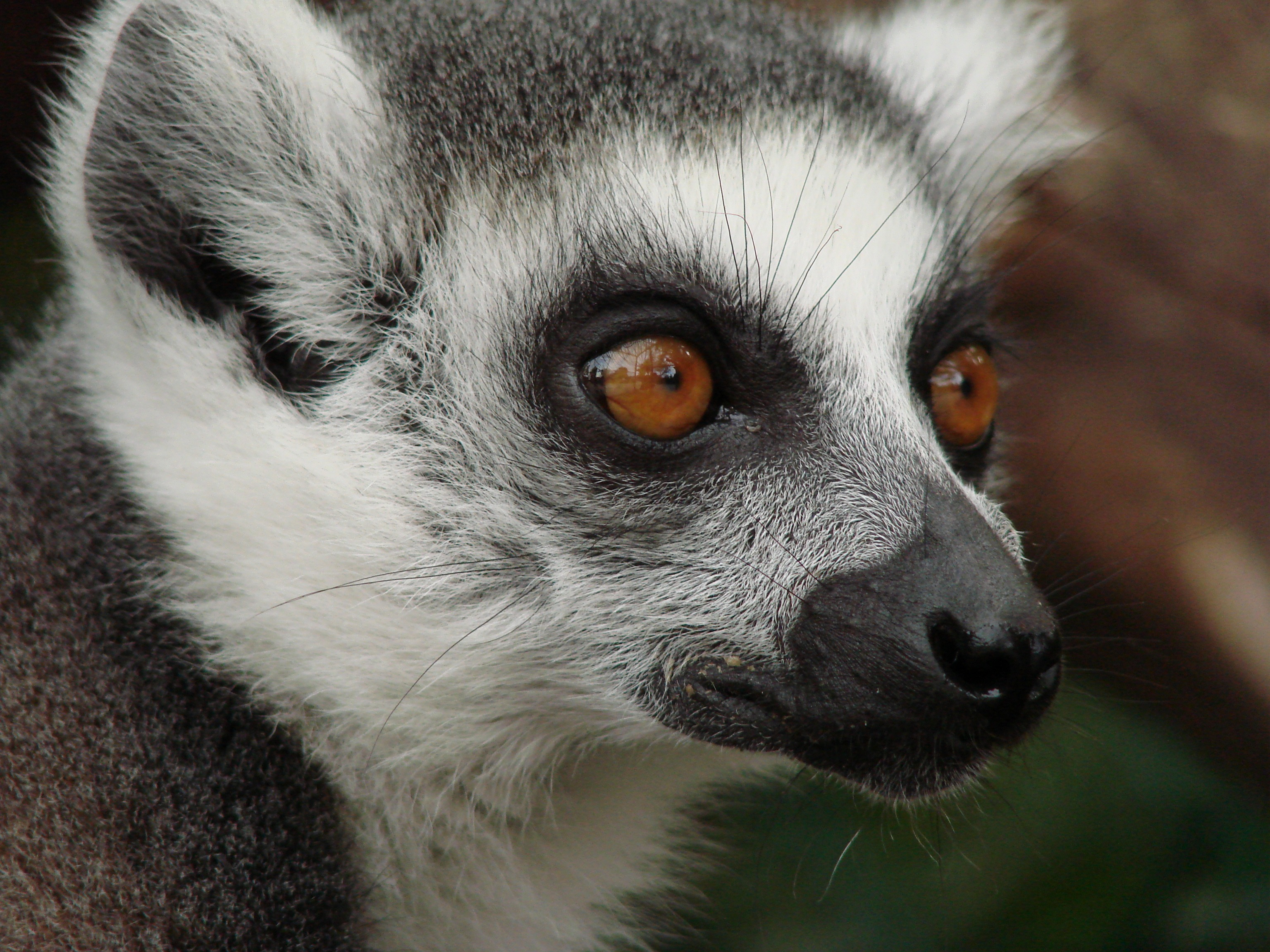 50785 download wallpaper Animals, Lemur, Muzzle, Sight, Opinion, Spotted, Spotty screensavers and pictures for free