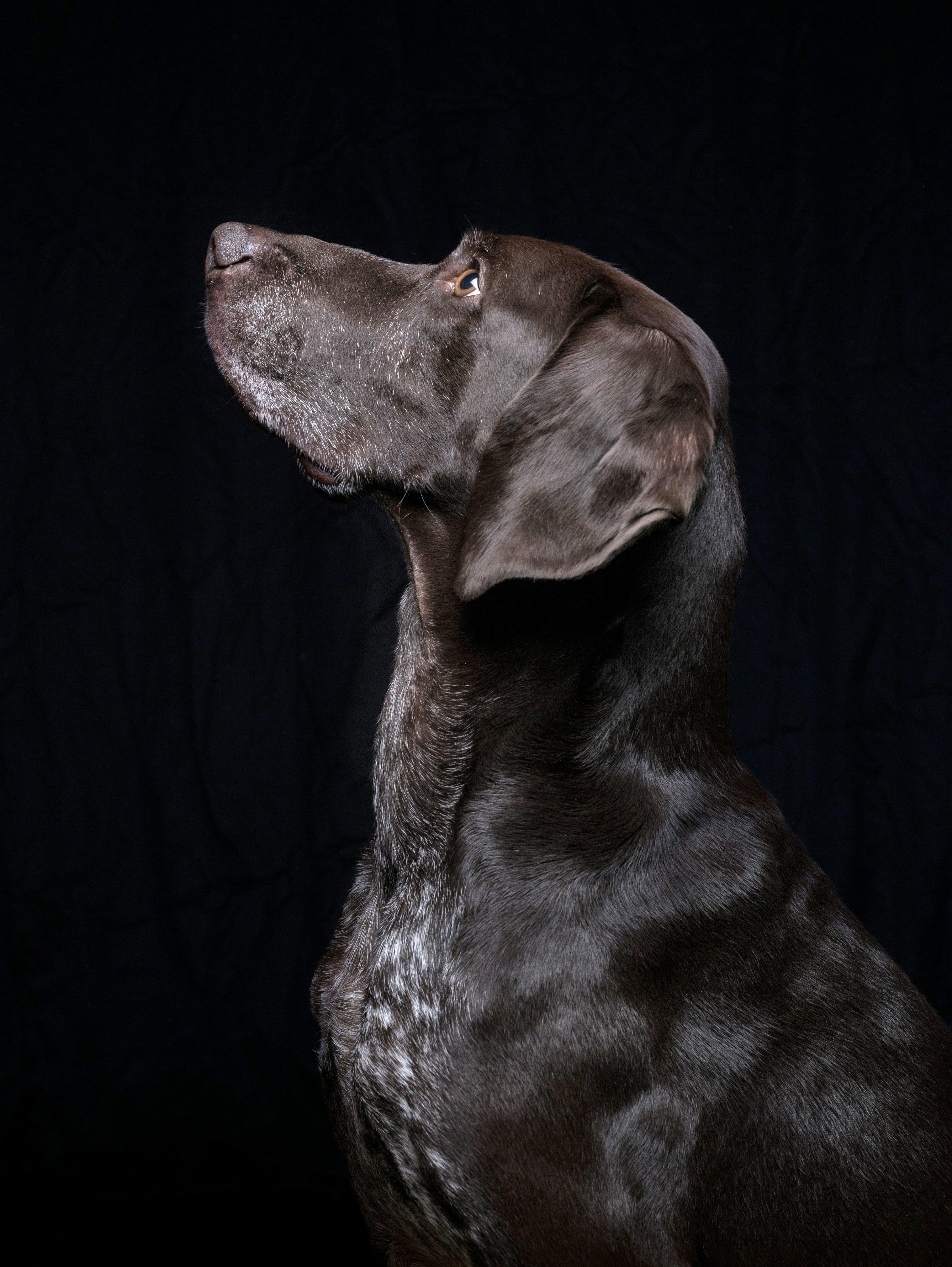 106498 download wallpaper Animals, Black Labrador, Labrador, Dog, Pet screensavers and pictures for free