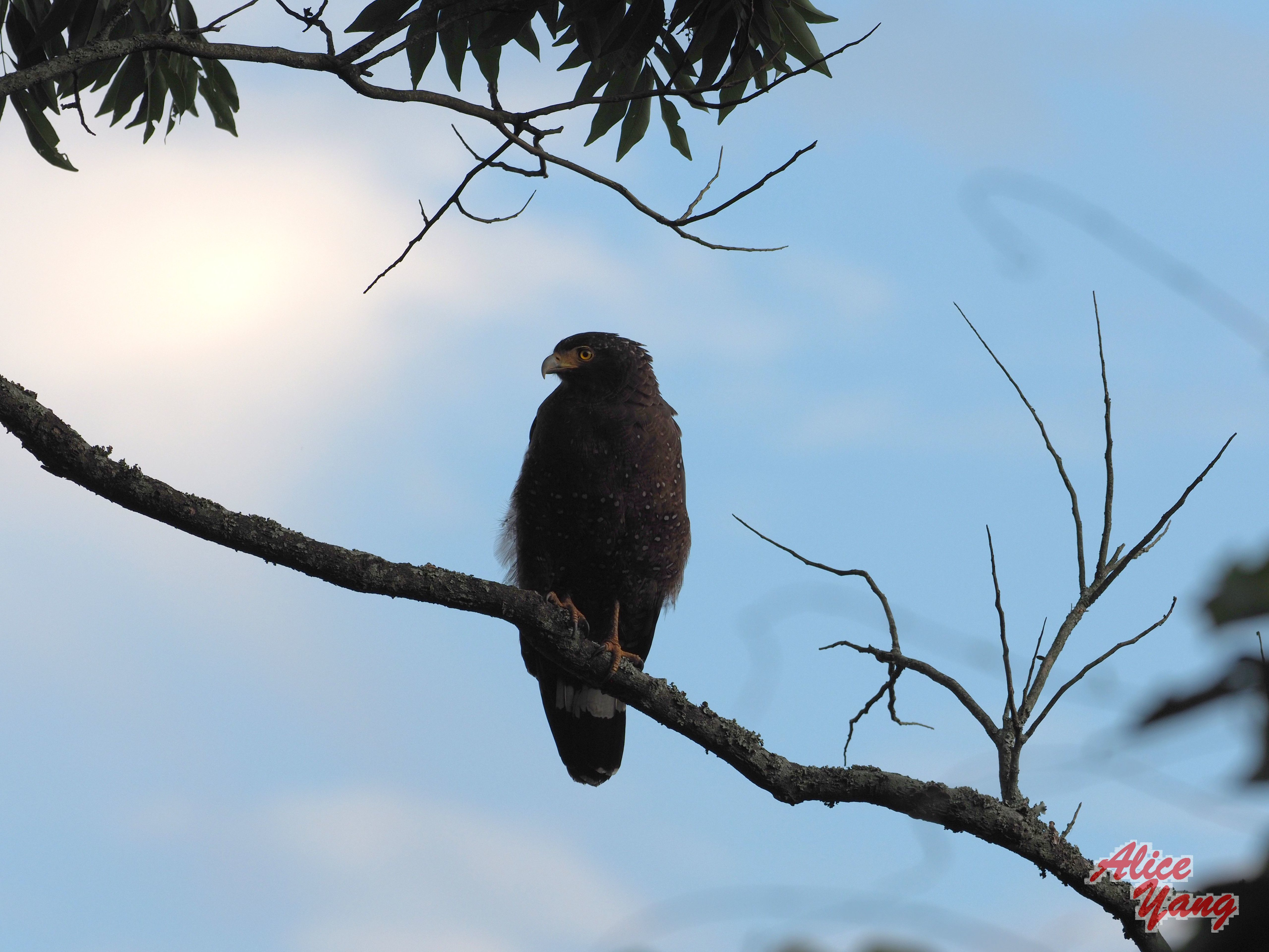 153120 download wallpaper Animals, Bird, Predator, Branch, Sky screensavers and pictures for free