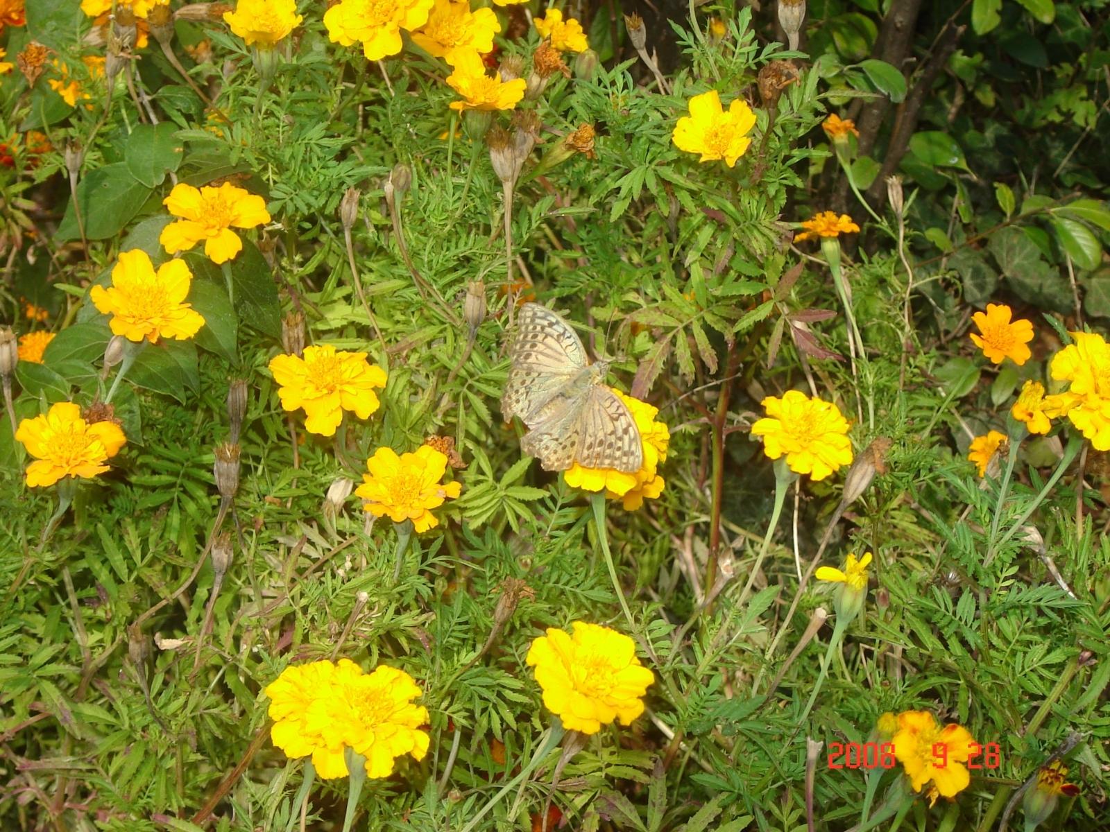 3637 скачать обои Растения, Бабочки, Цветы, Насекомые - заставки и картинки бесплатно