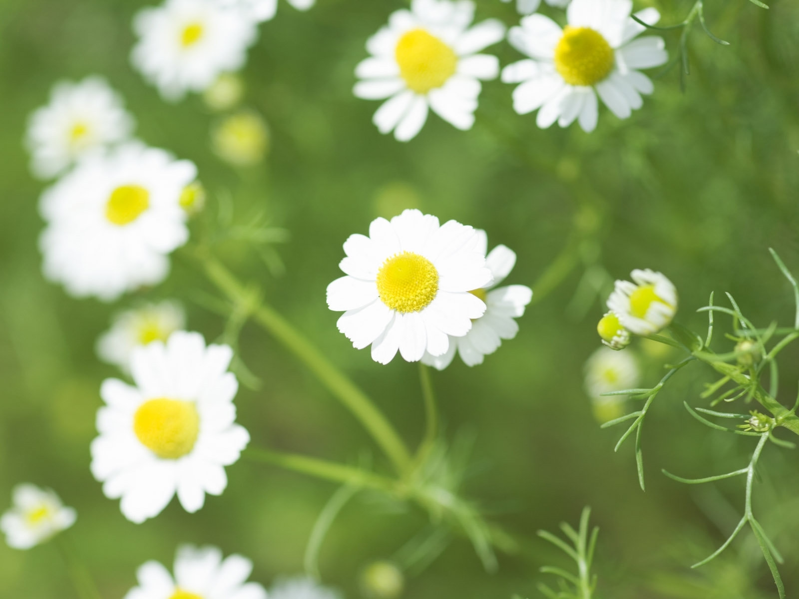 4464 скачать обои Растения, Цветы, Ромашки - заставки и картинки бесплатно