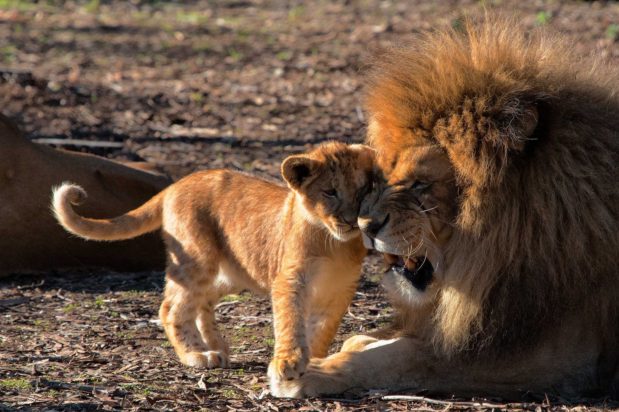 56936 Screensavers and Wallpapers Predators for phone. Download Animals, Predators, Lion, Care, Lion Cub pictures for free