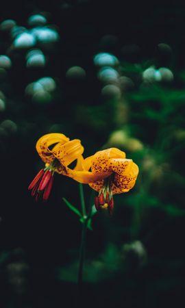 91364 скачать обои Темные, Лилии, Блики, Цветы - заставки и картинки бесплатно
