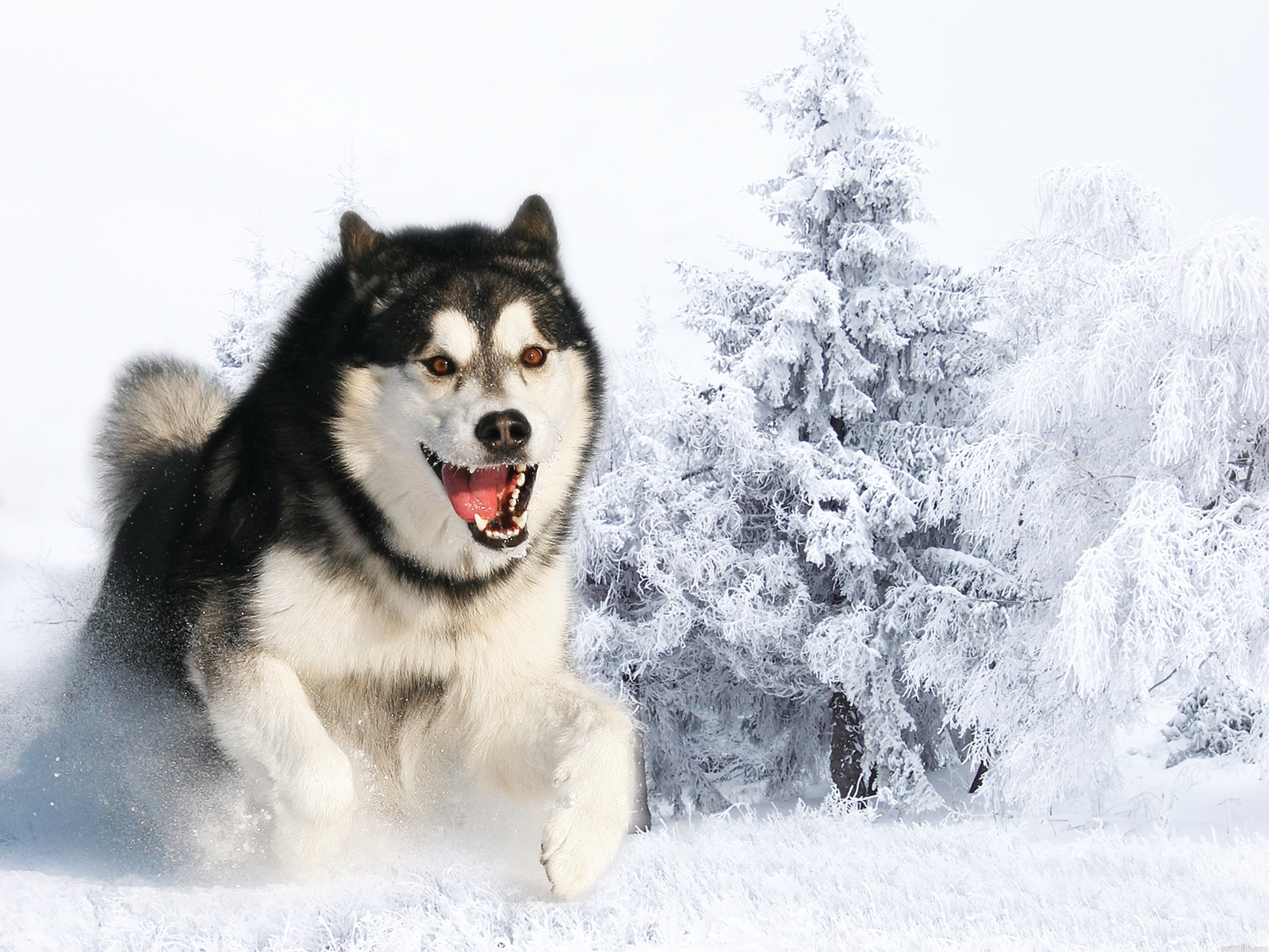 88671 Screensavers and Wallpapers Husky for phone. Download Animals, Winter, Snow, Fluffy, Dog, Muzzle, Husky, Haska, Run Away, Run, Wool pictures for free