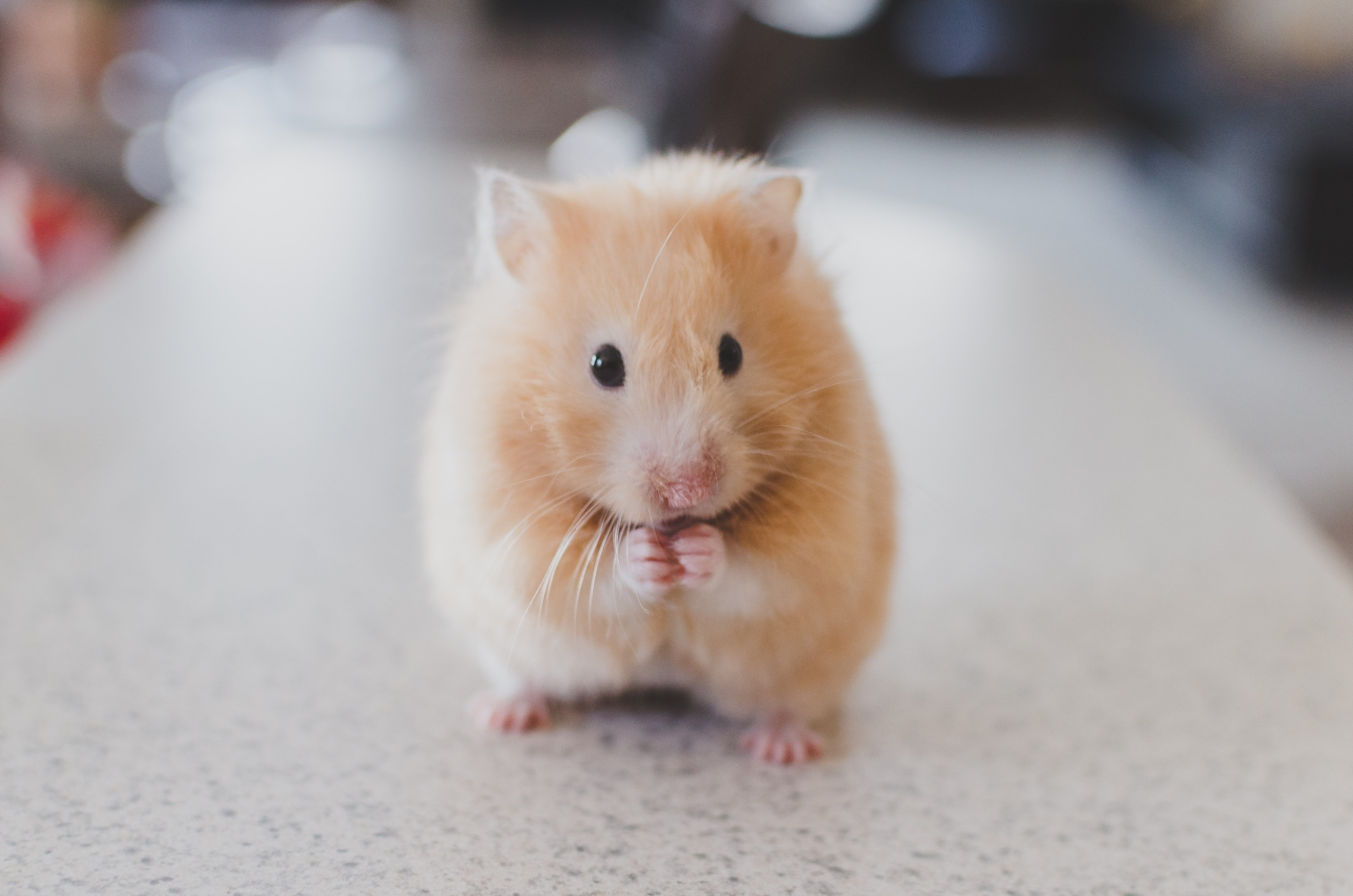 123277 download wallpaper Animals, Hamster, Rodent, Nice, Sweetheart screensavers and pictures for free