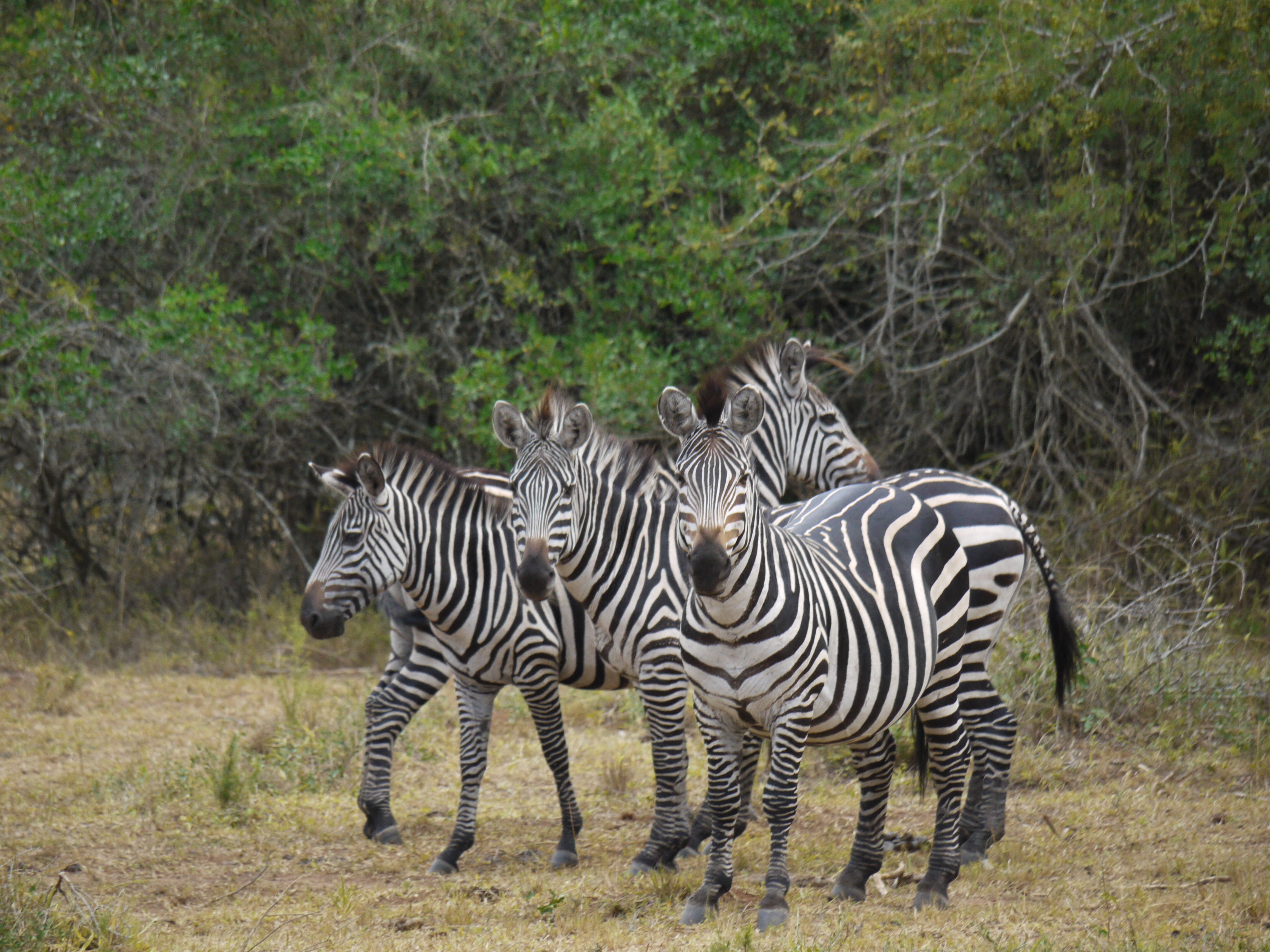52444 download wallpaper Animals, Africa, Stroll, Zebra screensavers and pictures for free