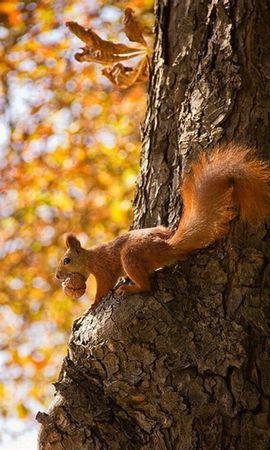 21112 download wallpaper Animals, Squirrel screensavers and pictures for free
