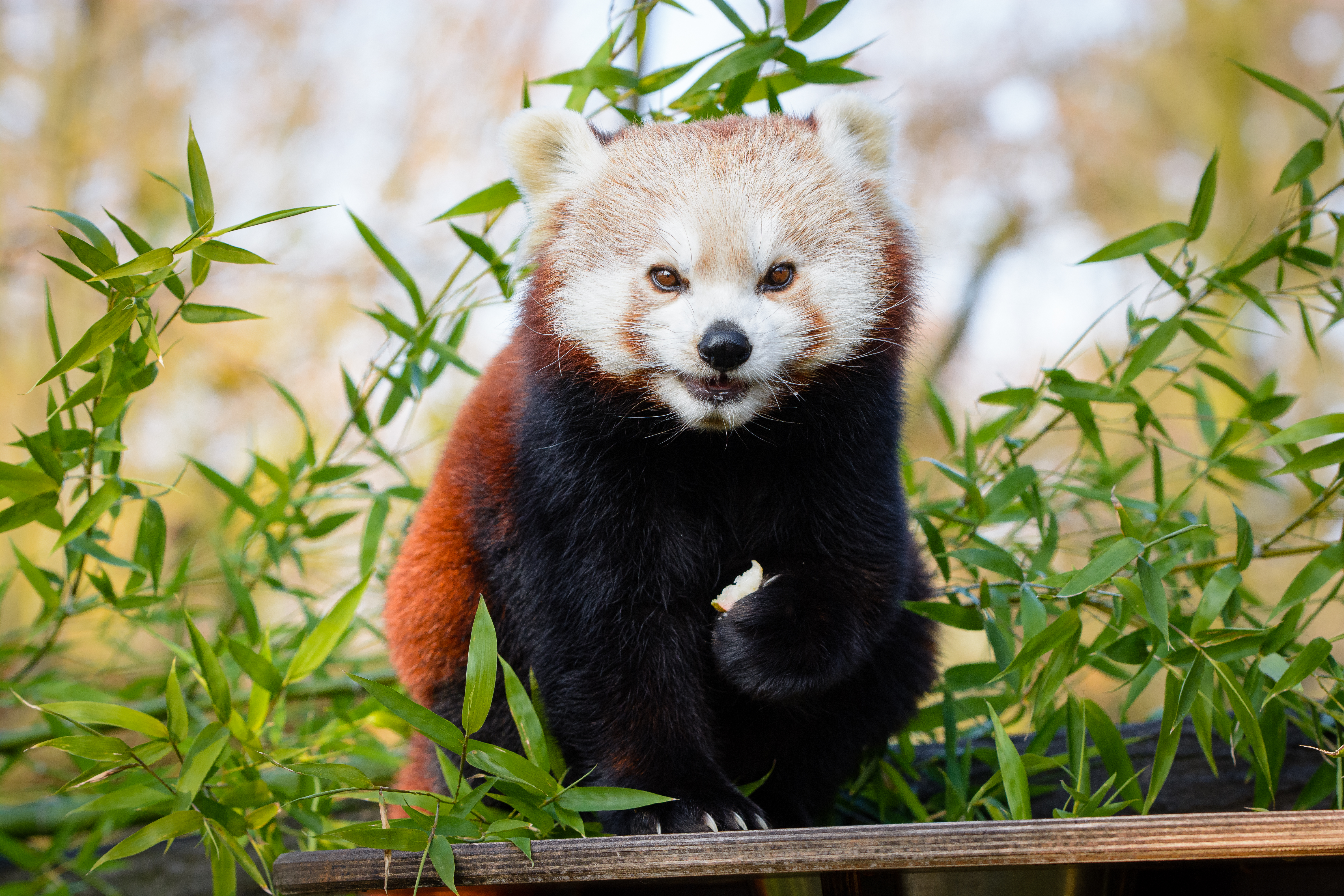 136335 download wallpaper Animals, Little Panda, Small Panda, Brown, Nice, Sweetheart, Animal, Bamboo, Branches screensavers and pictures for free