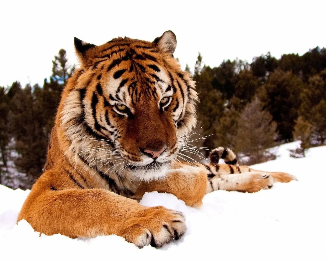 16751 descargar fondo de pantalla Animales, Tigres: protectores de pantalla e imágenes gratis