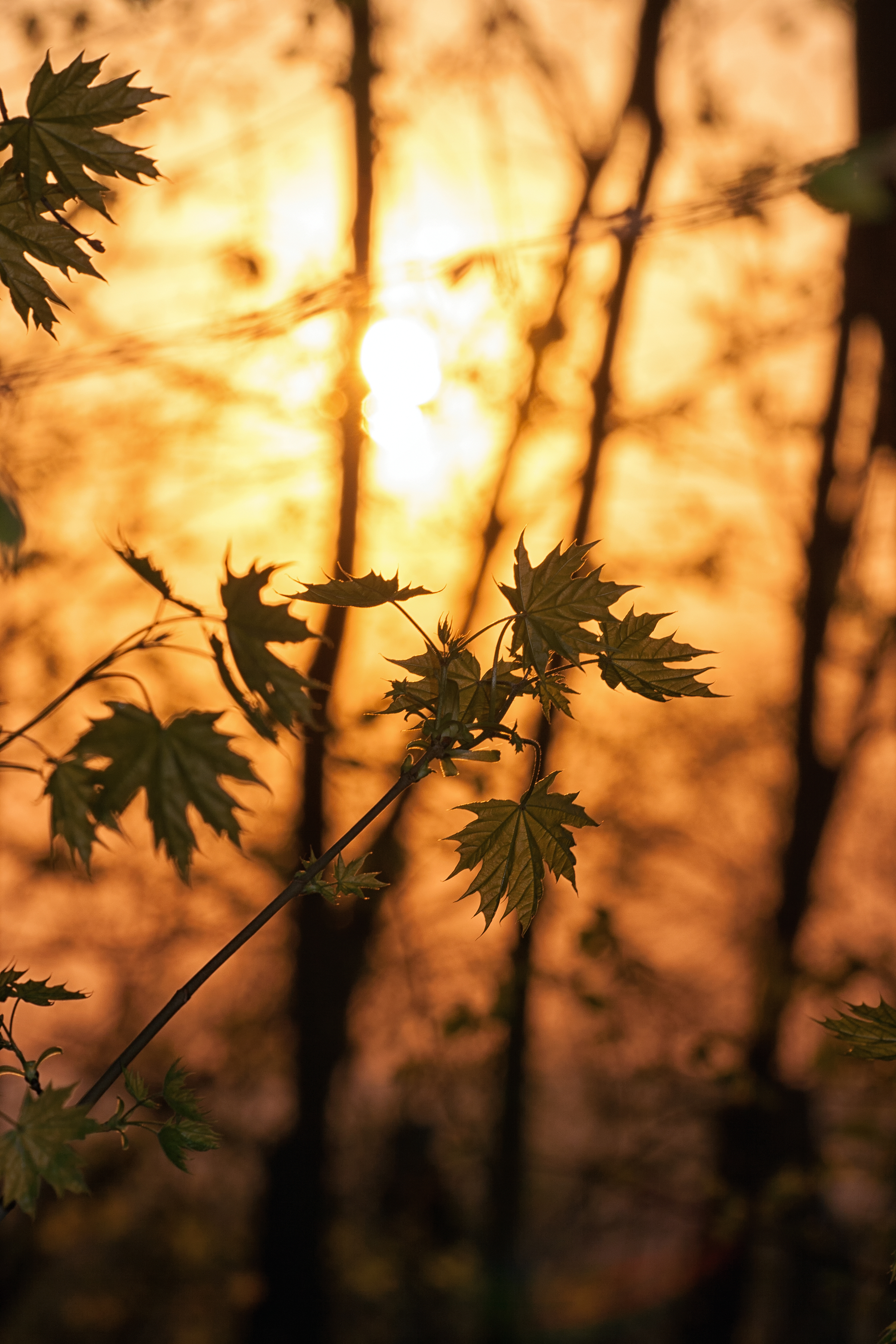 71224 download wallpaper Nature, Maple, Branches, Leaves, Trees, Sunlight screensavers and pictures for free
