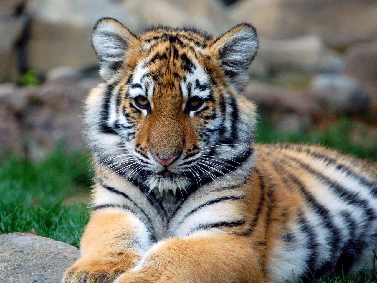 29727 descargar fondo de pantalla Animales, Tigres: protectores de pantalla e imágenes gratis