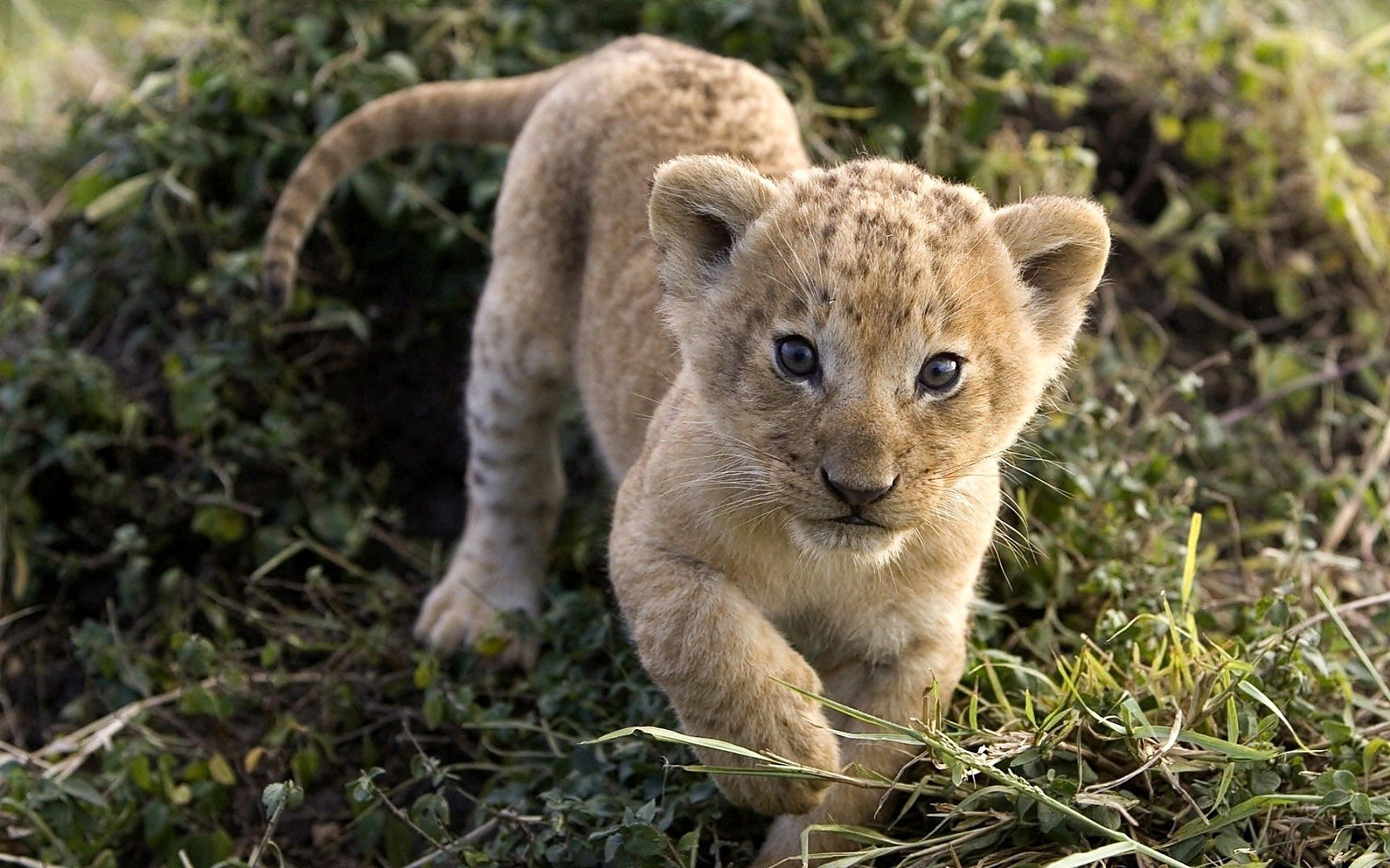130881 download wallpaper Animals, Cheetah, Young, Joey, Muzzle, Predator screensavers and pictures for free