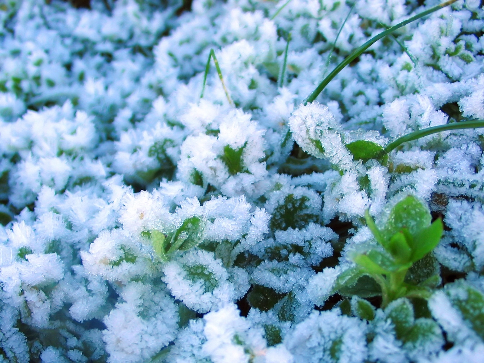 1094 download wallpaper Plants, Snow screensavers and pictures for free