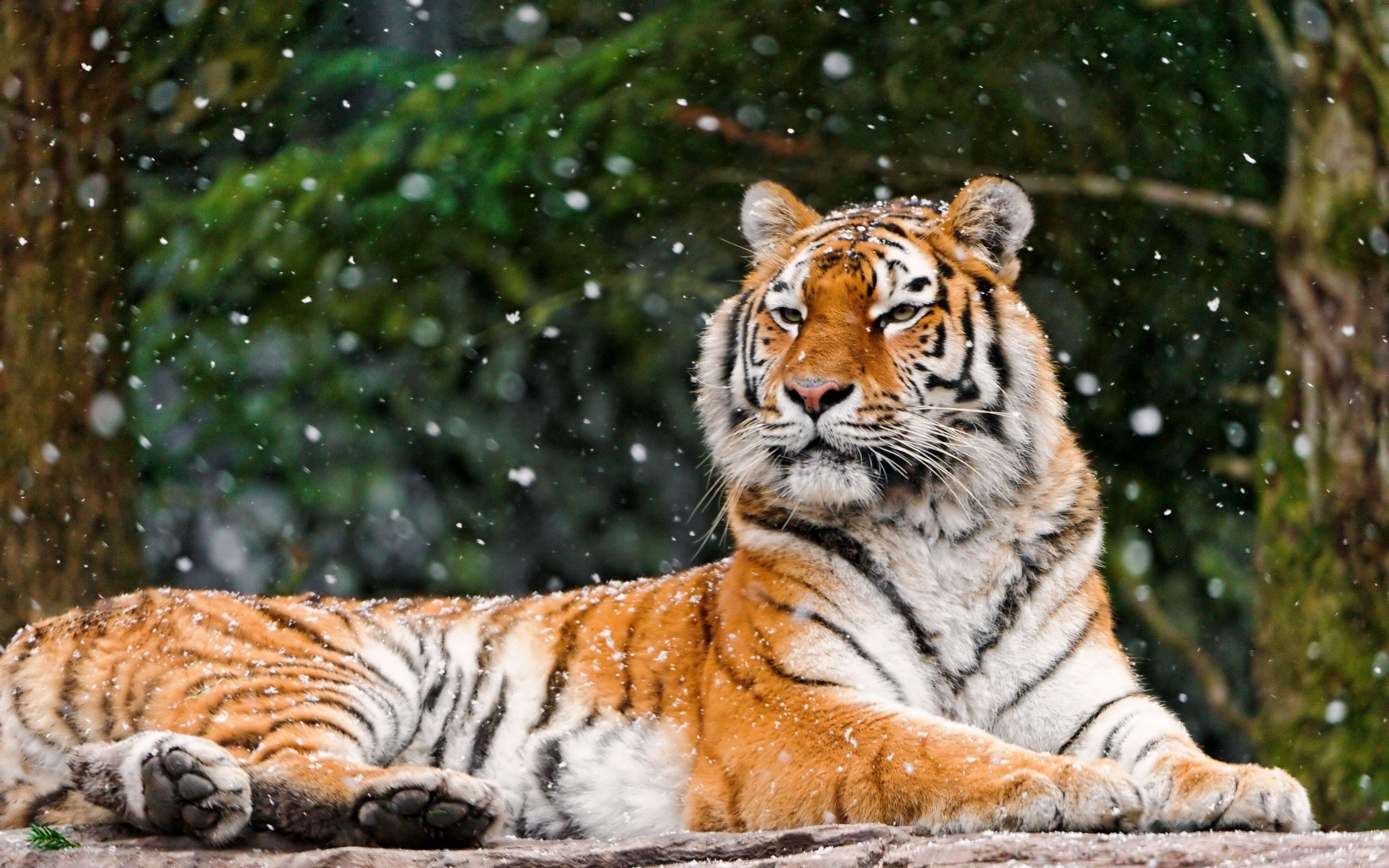 59517 download wallpaper Animals, Snow, To Lie Down, Lie, Predator, Tiger screensavers and pictures for free