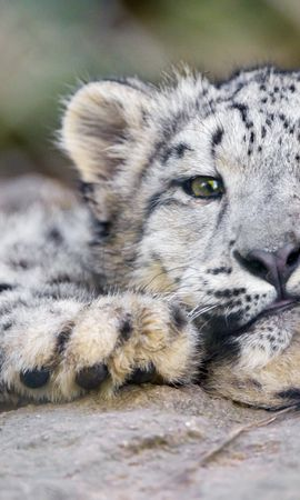 81863 download wallpaper Animals, Big Cat, Irbis, Snow Leopard screensavers and pictures for free