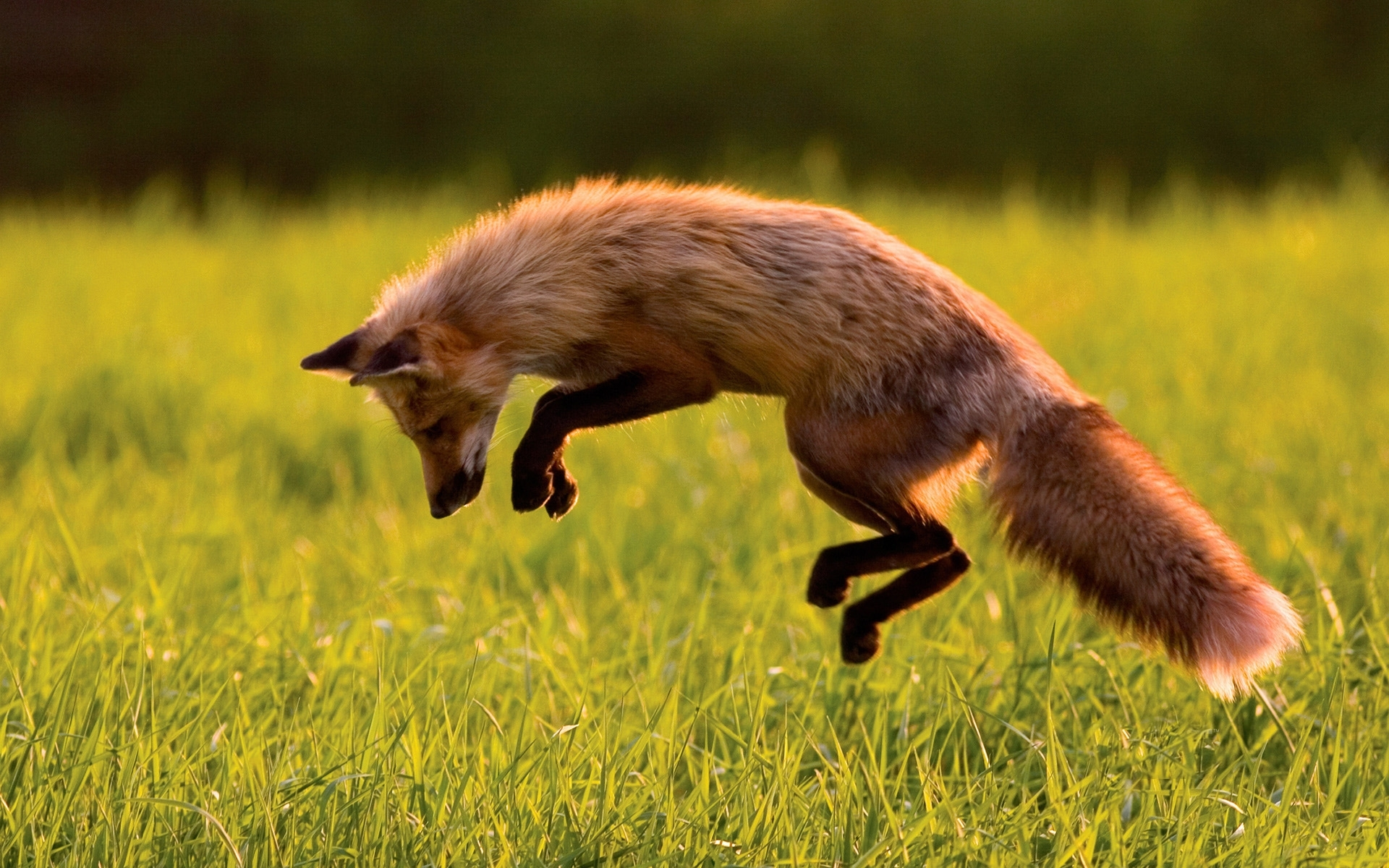 48131 download wallpaper Animals, Fox screensavers and pictures for free