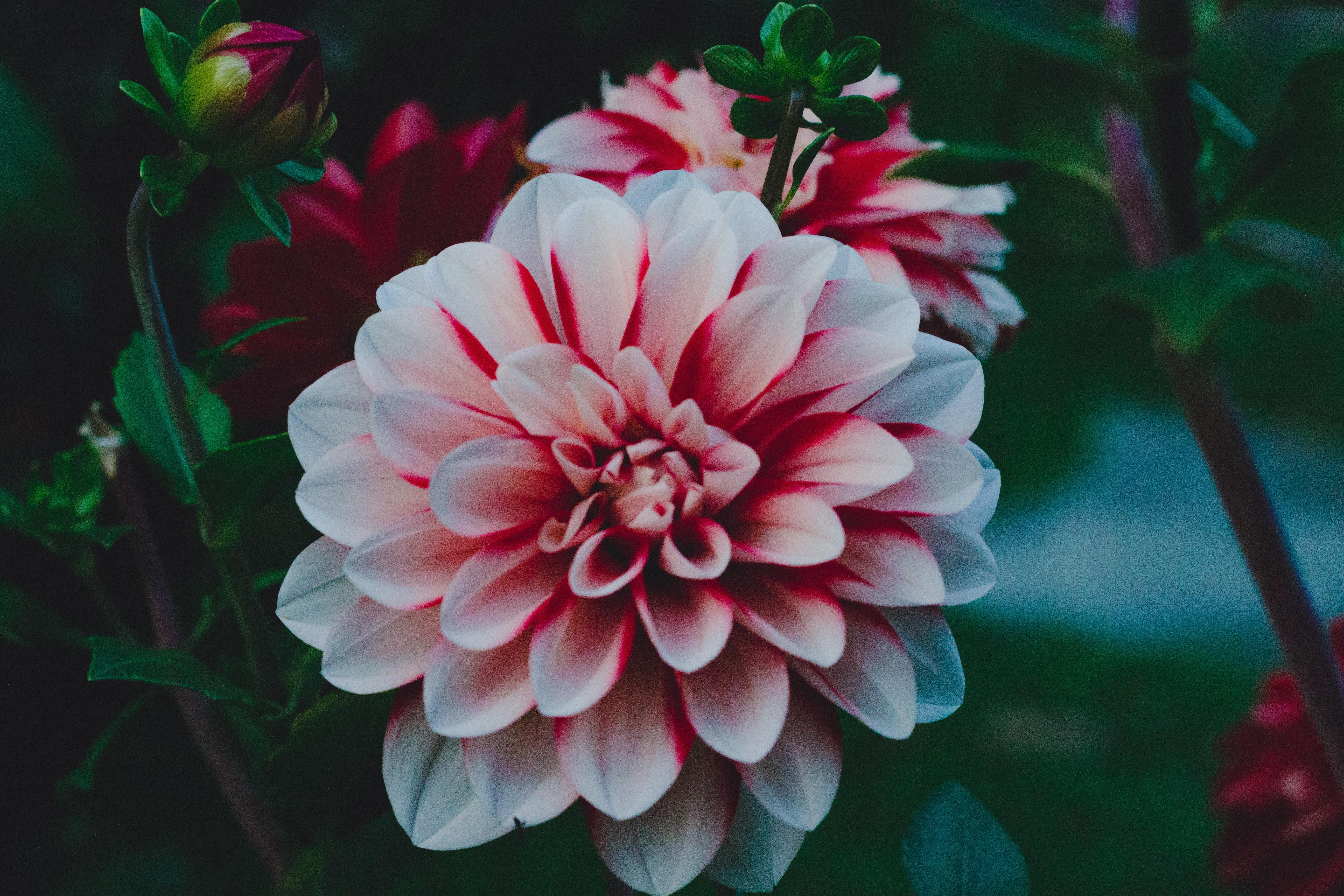 126284 Screensavers and Wallpapers Petals for phone. Download Flowers, Petals, Bud, Dahlia, Dahlia Rebekas World, Georgina Rebekah World pictures for free