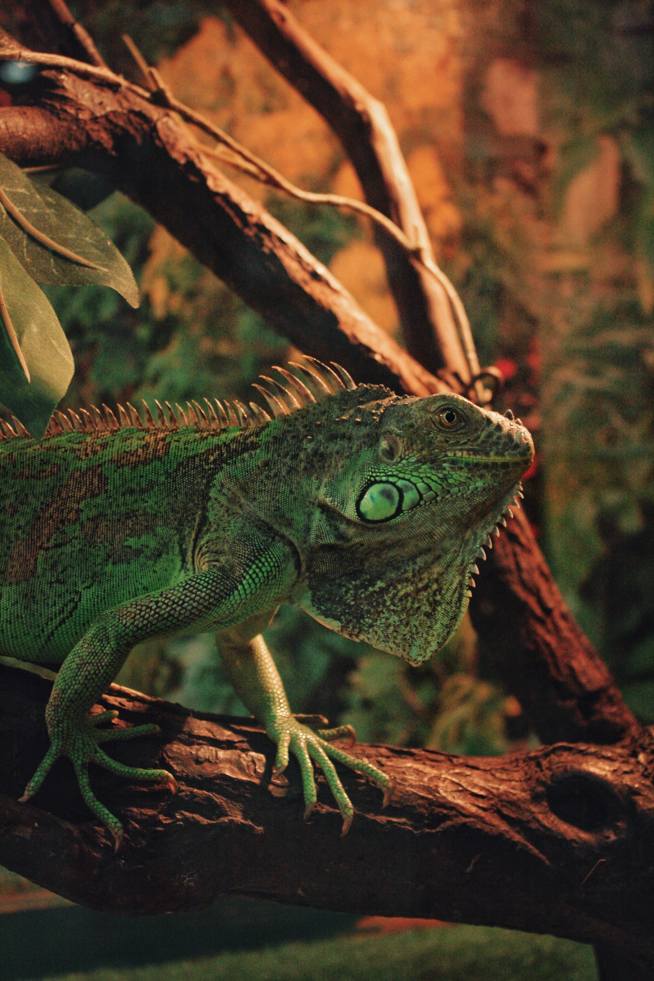 93343 download wallpaper Animals, Iguana, Reptile, Scales, Scale, Animal screensavers and pictures for free