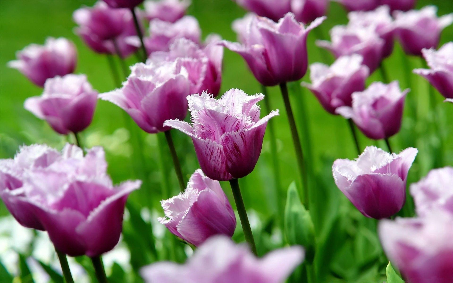 70540 скачать обои Цветы, Поле, Полосатый, Трава, Стебель, Тюльпаны - заставки и картинки бесплатно