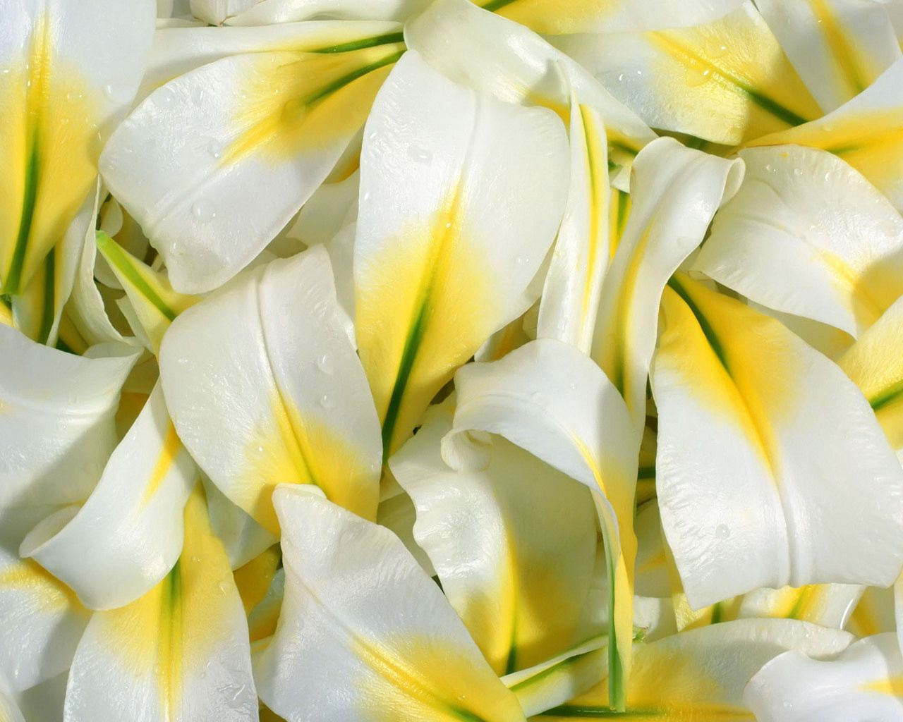 94340 download wallpaper Flowers, Lilies, Drops, Petals screensavers and pictures for free