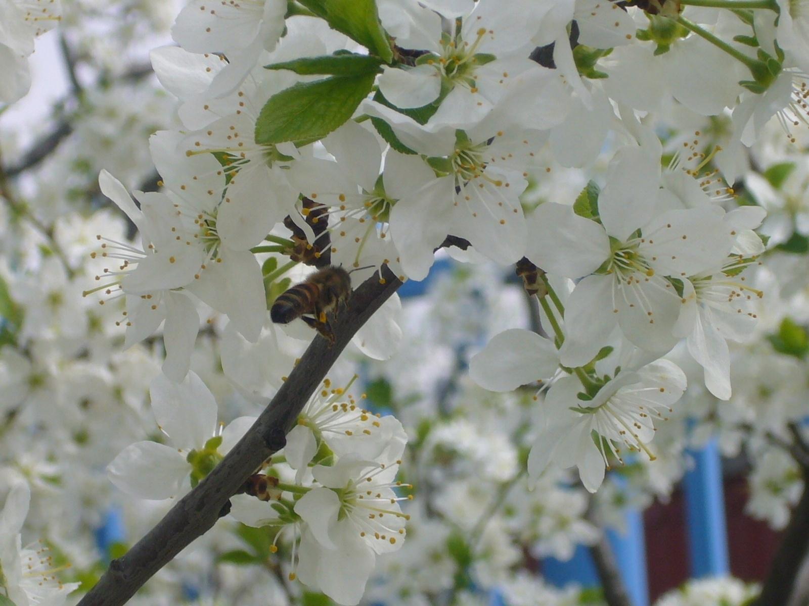 3711 Hintergrundbild herunterladen Pflanzen, Blumen, Insekten, Bienen - Bildschirmschoner und Bilder kostenlos