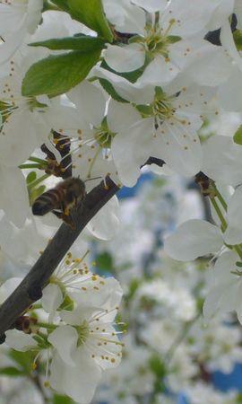 3711 descargar fondo de pantalla Plantas, Flores, Insectos, Abejas: protectores de pantalla e imágenes gratis