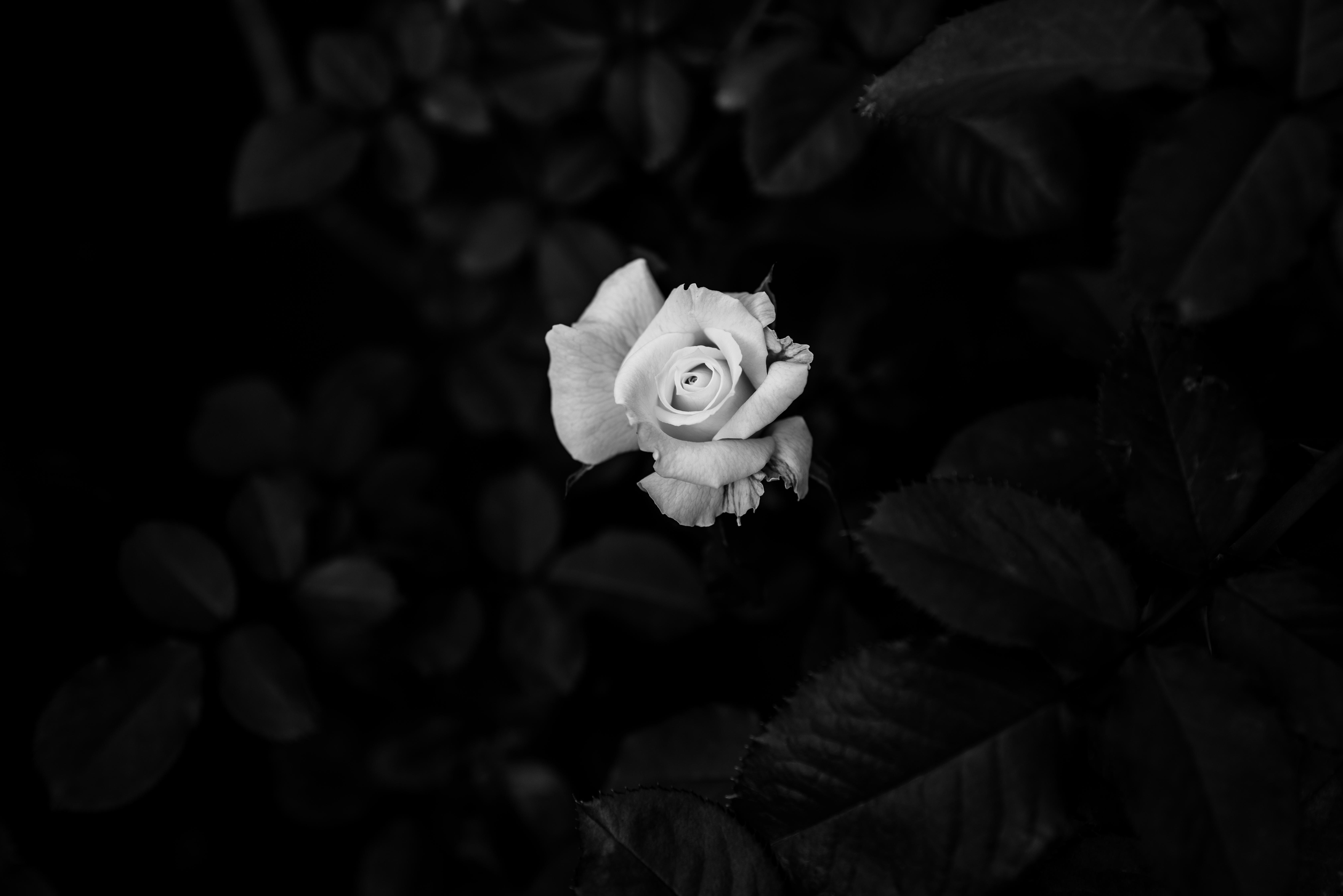 104092 скачать обои Цветок, Цветы, Роза, Чб - заставки и картинки бесплатно
