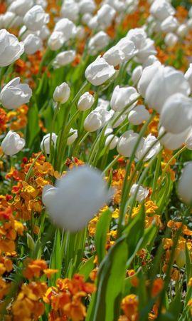 19692 скачать обои Растения, Цветы, Тюльпаны - заставки и картинки бесплатно