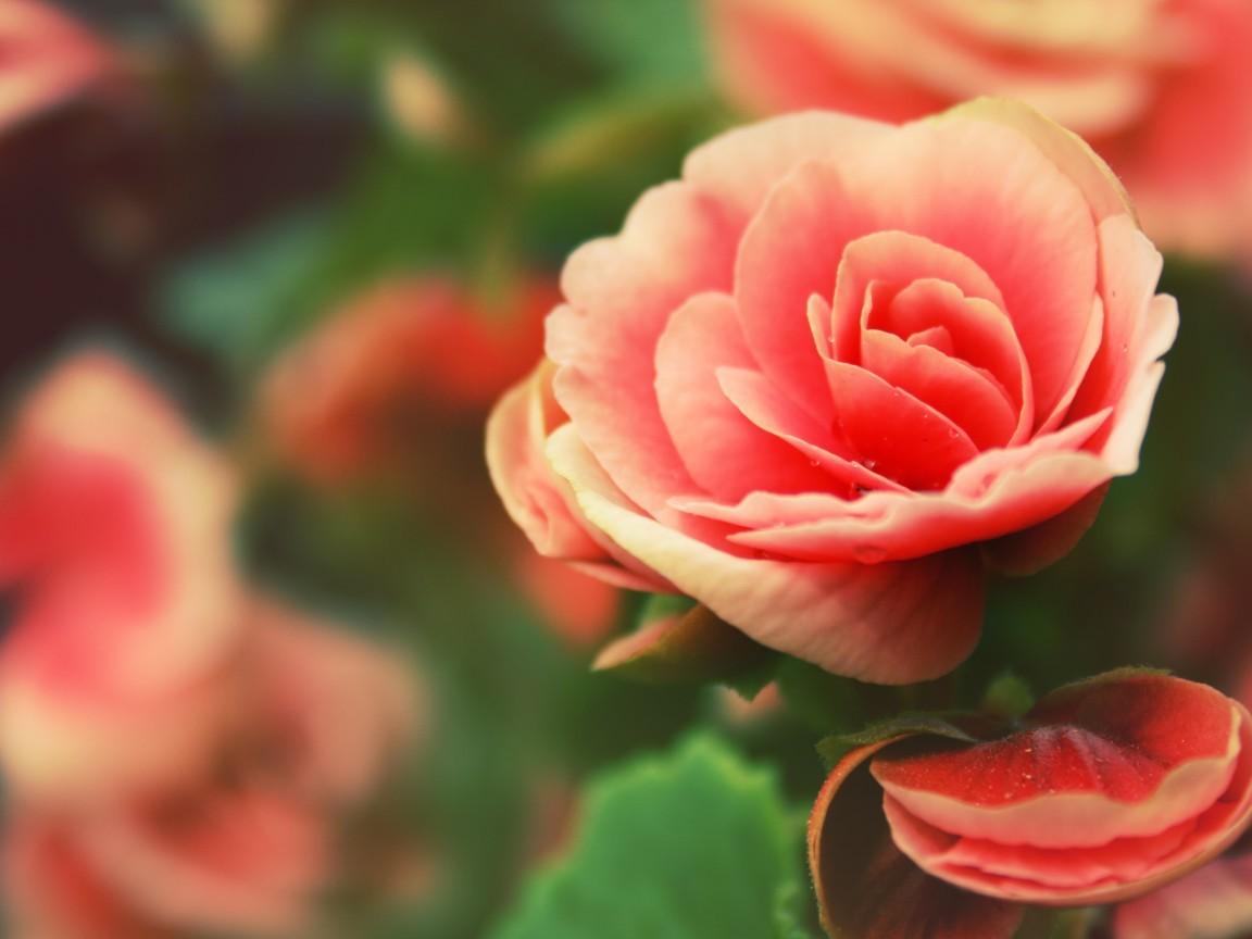 19262 télécharger le fond d'écran Plantes, Fleurs, Roses - économiseurs d'écran et images gratuitement