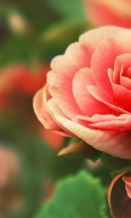 19262 baixar papel de parede Plantas, Flores, Rosas - protetores de tela e imagens gratuitamente
