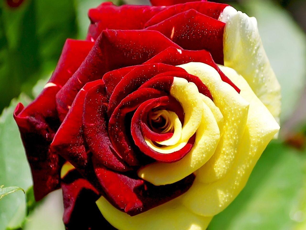27255 скачать обои Растения, Цветы, Розы - заставки и картинки бесплатно