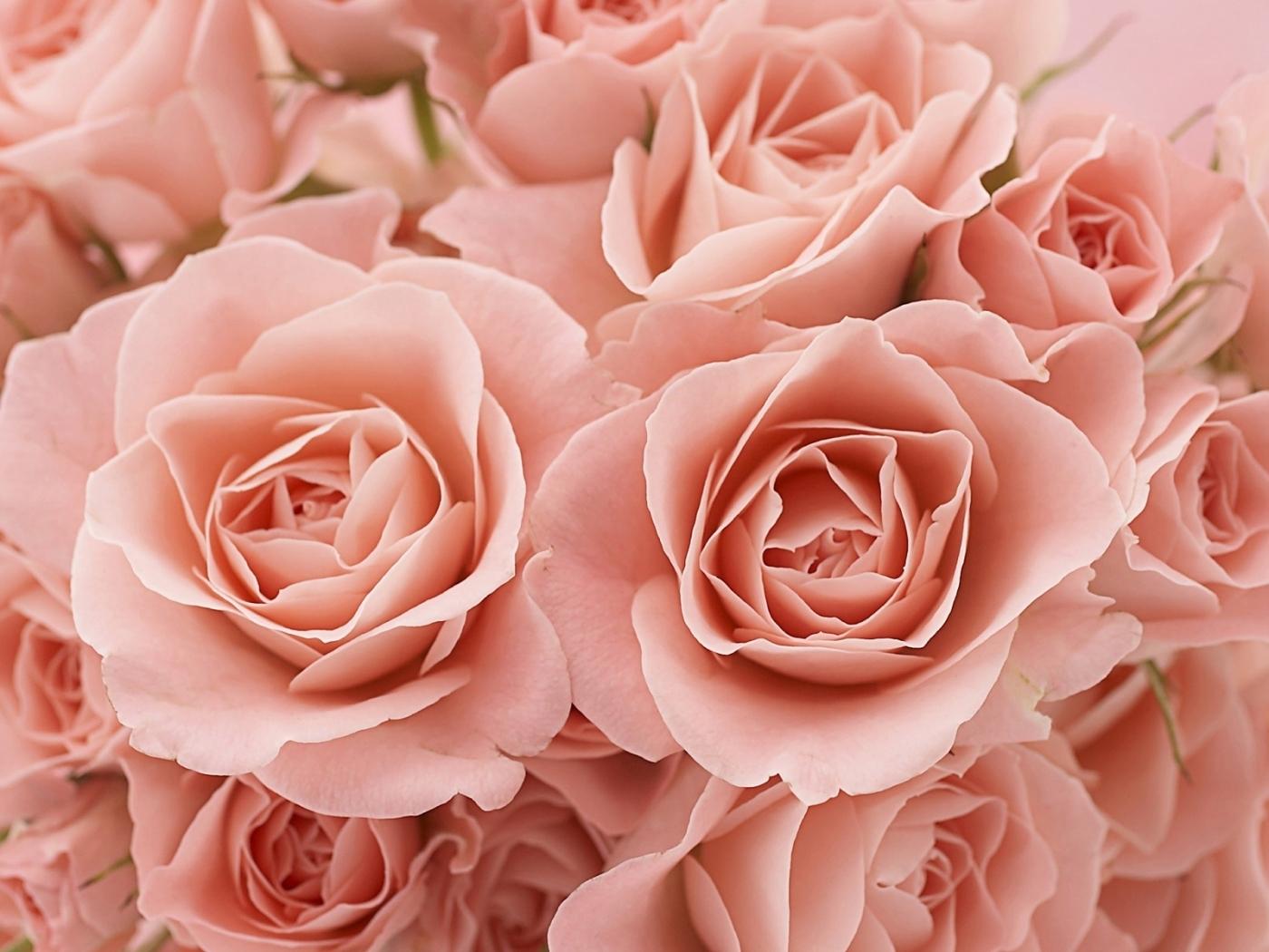 23634 télécharger le fond d'écran Plantes, Fleurs, Roses - économiseurs d'écran et images gratuitement